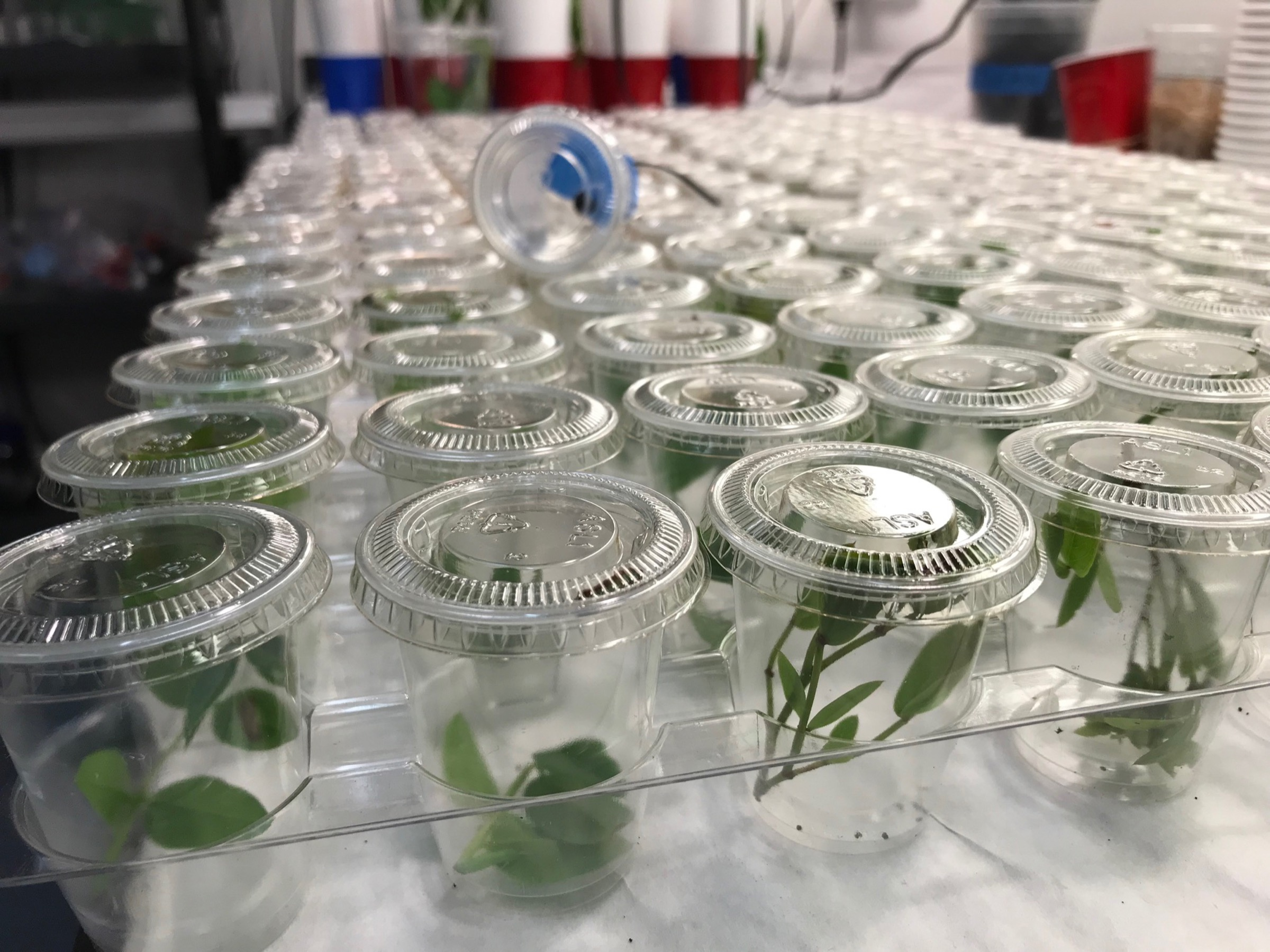 Jaret Daniels and other scientists at the Florida Museum of Natural History are successfully rearing Miami blues and other rare butterflies in captivity—and releasing them—in an effort to increase numbers of the insects in the wild. Each small cup in this in this image holds a single Miami blue larva. Photograph by Jaret C. Daniels