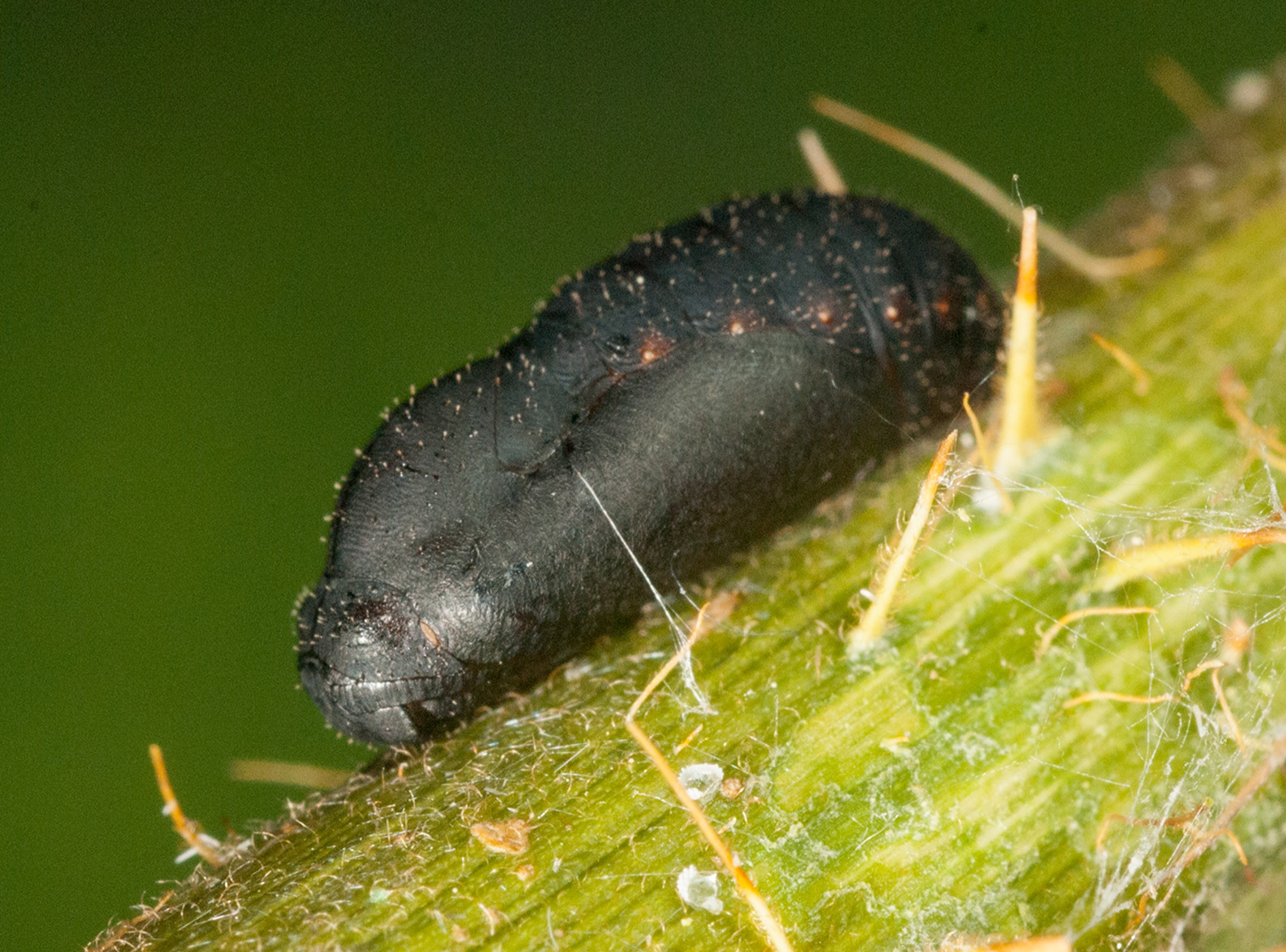 A small black pupae of the Miami blue butterfly—photograph by Jaret C. Daniels