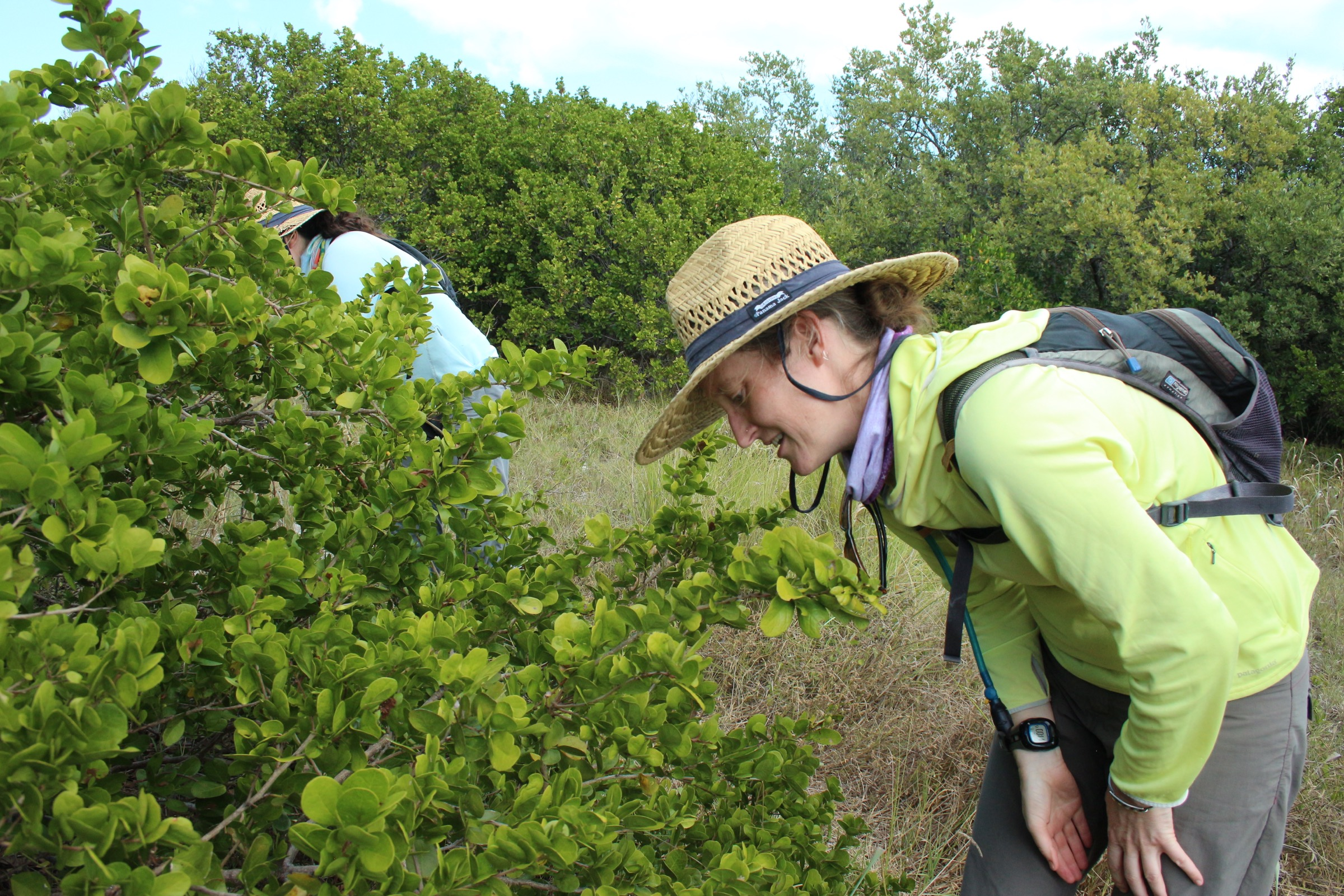 Erica Henry (foreground) and Sarah Cabrera Steele look for the eggs and caterpillars of Miami blue butterflies on a blackbead bush (<em>Pithecellobium keyense</em>) on Boca Grande Key in the Key West National Wildlife Refuge. Photograph by Hannah Hoag