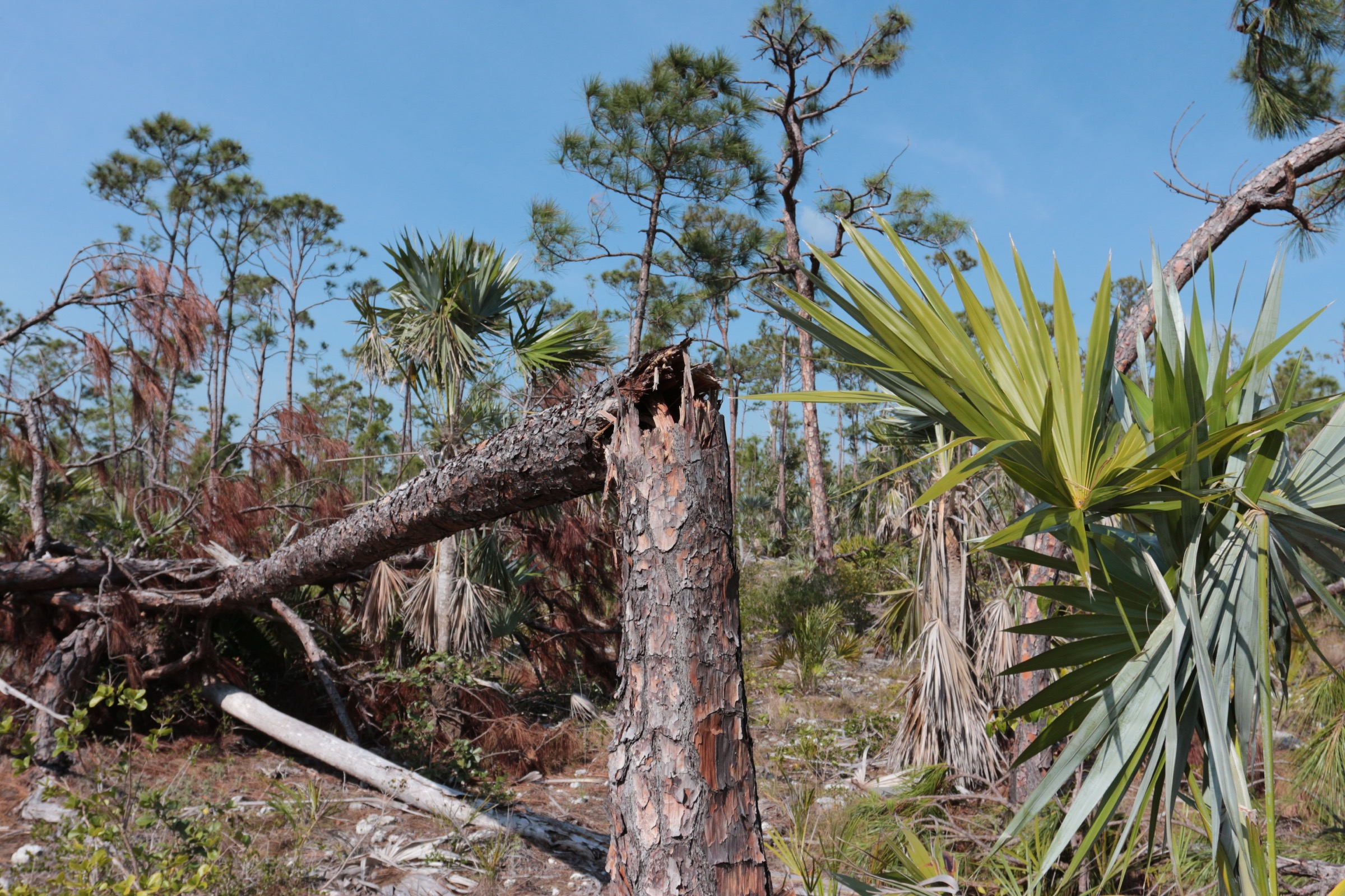 Hurricane Irma made landfall at Cudjoe Key Florida on September 10, 2017. The storm uprooted and snapped trees, including these in an area on Big Pine Key thought to be home to Bartram's scrub hairstreak butterflies. Photograph by Hannah Hoag
