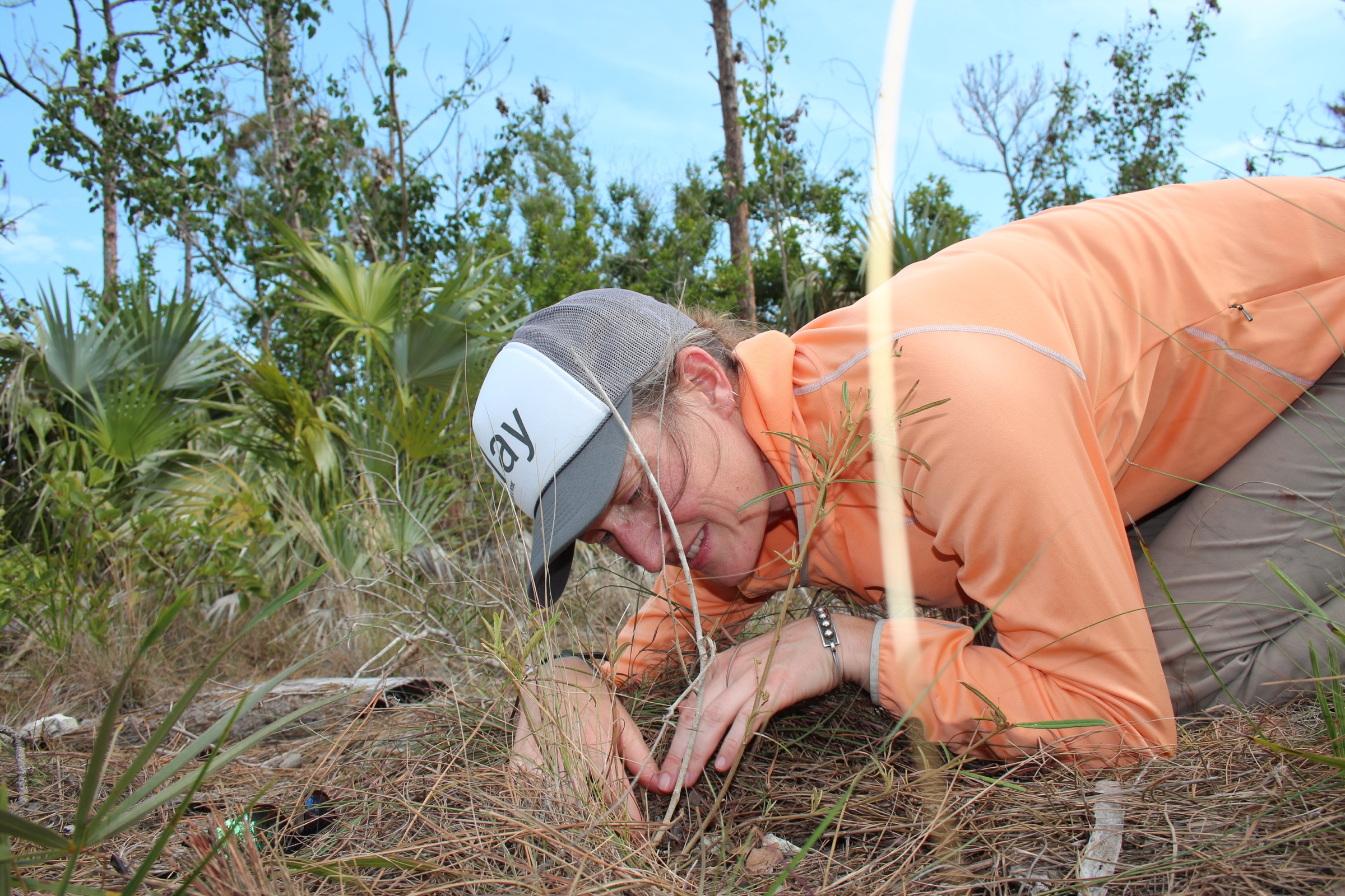 Erica Henry examines a croton plant with signs of herbivory on Big Pine Key, looking for a Bartram's scrub hairstreak caterpillar. Photograph by Hannah Hoag