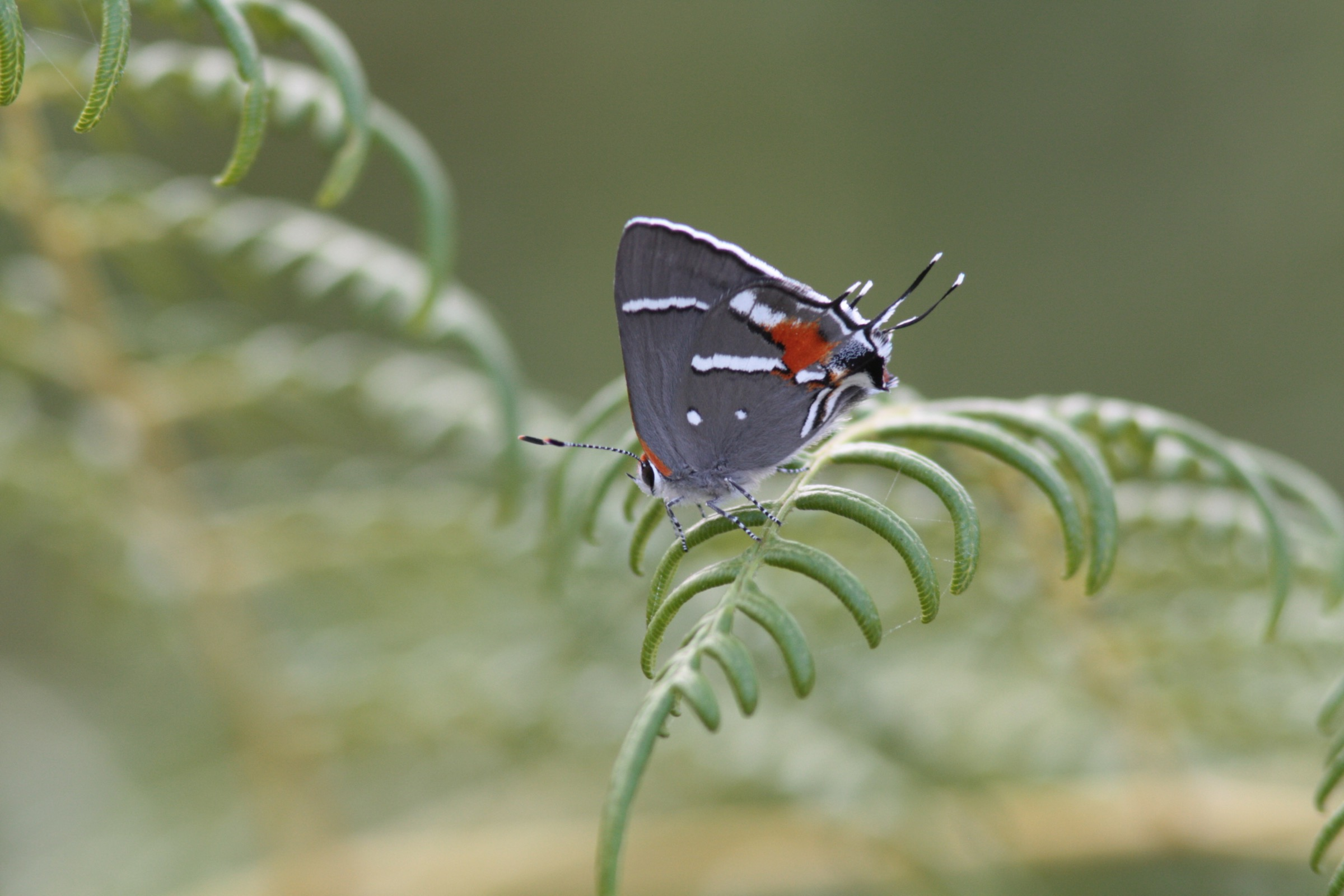 The Bartram's scrub hairstreak butterfly (Strymon acis bartrami) exists only in the pine rockland habitat of South Florida, an ecosystem that has been decimated by development in recent decades. Photograph by Chad Anderson