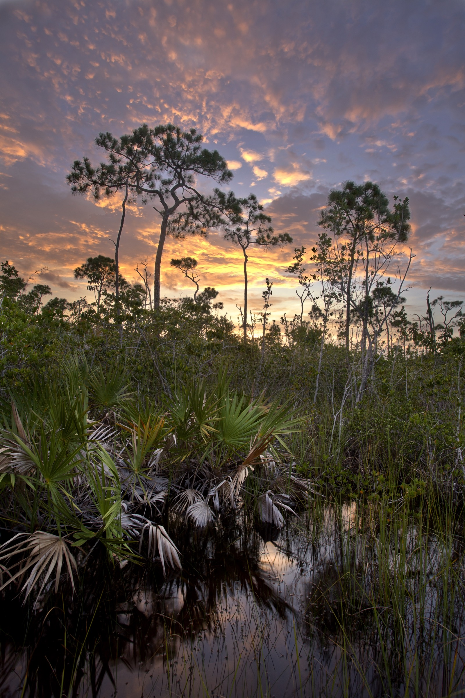 Florida's pine rockland ecosystem is underpinned by limestone and filled with slash pines, saw palmettos, poisonwood and a lush, herbaceous understory. It once covered nearly 200 square miles of south Florida. Photograph by Chad Anderson
