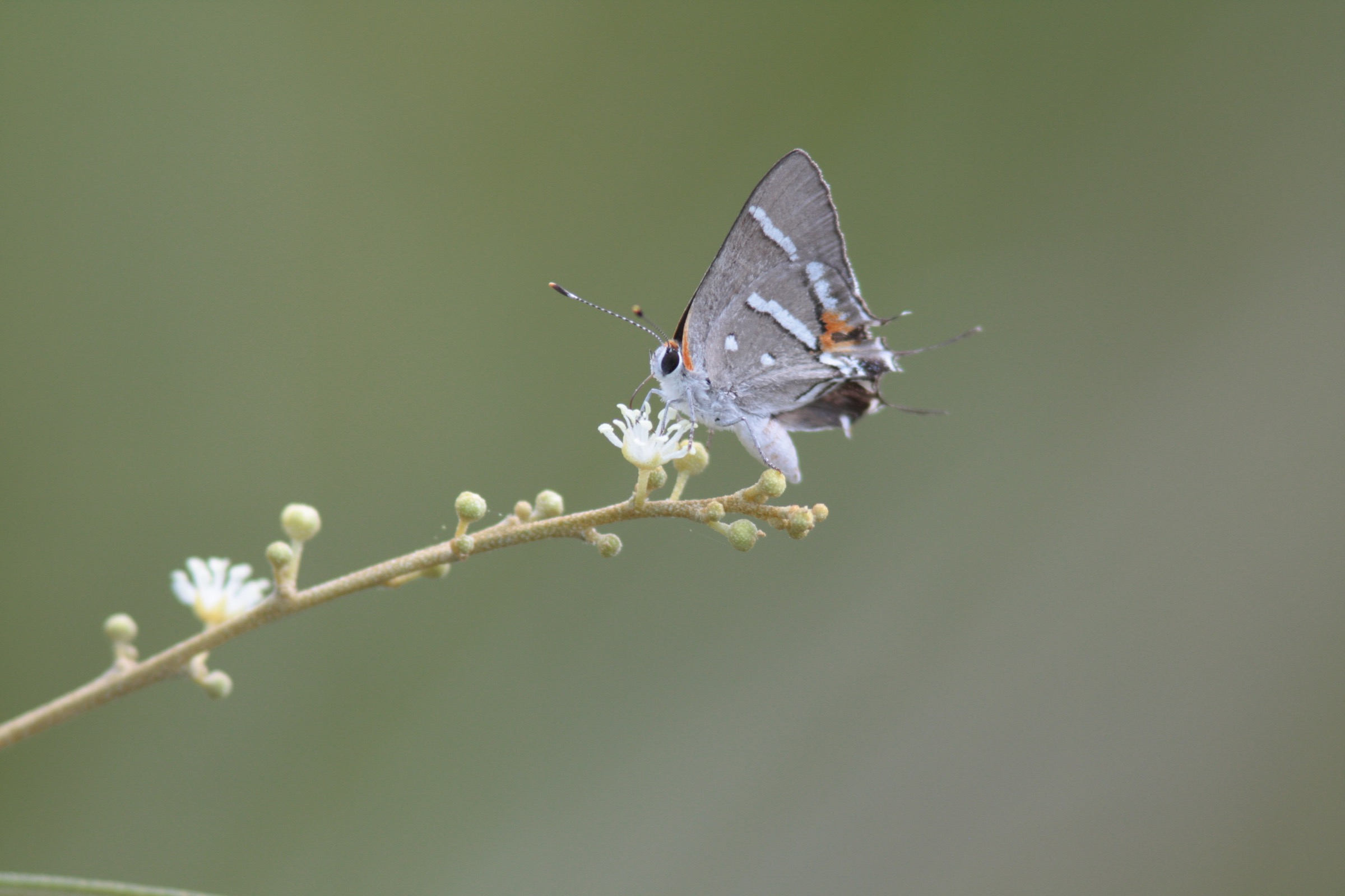 Bartram's scrub hairstreak butterflies depend on the rare pineland croton (<em>Croton linearis</em>) for food. Photograph by Chad Anderson