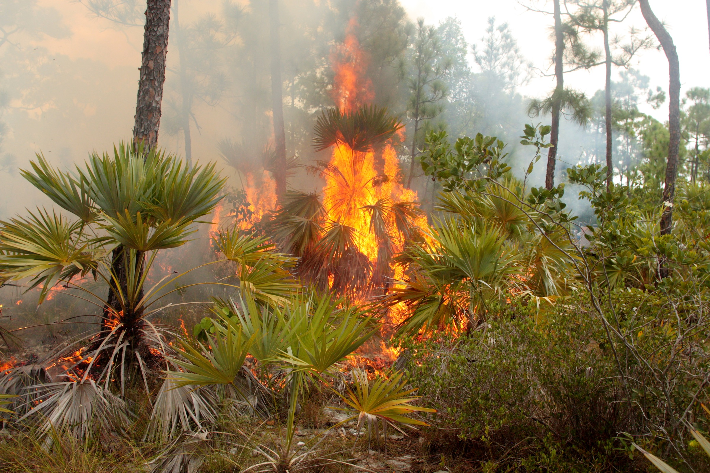 Land managers now use prescribed burns like this one as a way of bringing the pine rockland ecosystem back into balance. Photograph by Chad Anderson