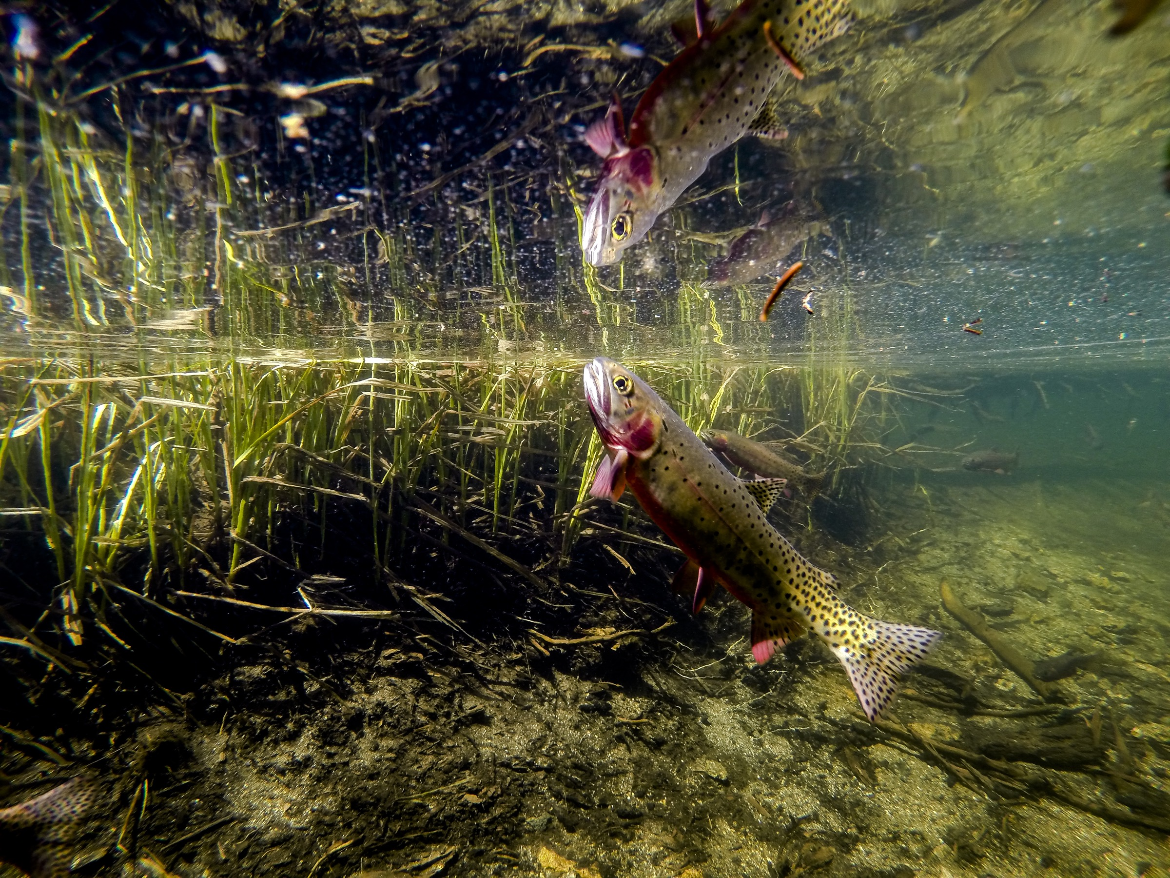 A cutthroat trout, once thought to be one of the true greenback  cutthroat (<em>Oncorhynchus clarkii stomias</em>), feeds at the surface of a lake in Rocky Mountain National Park. Photograph by William Hughes