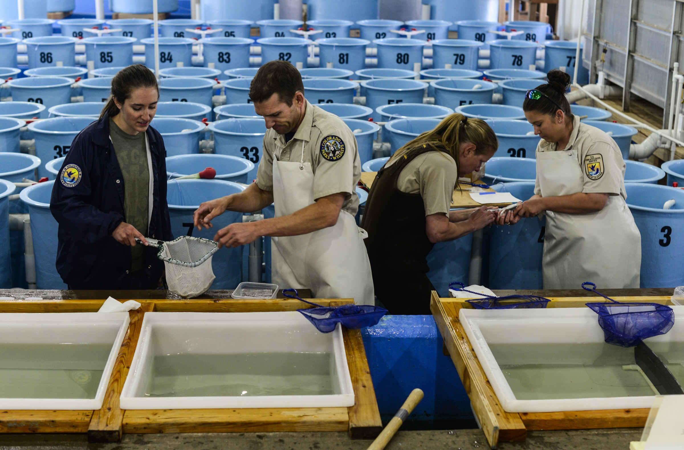 U.S. Fish and Wildlife Service biologists working at the hatchery in Leadville, Colorado carefully match individual greenback cutthroat trout in an attempt to maximize genetic diversity of the fish's offspring. Photograph by Lindsay Fendt