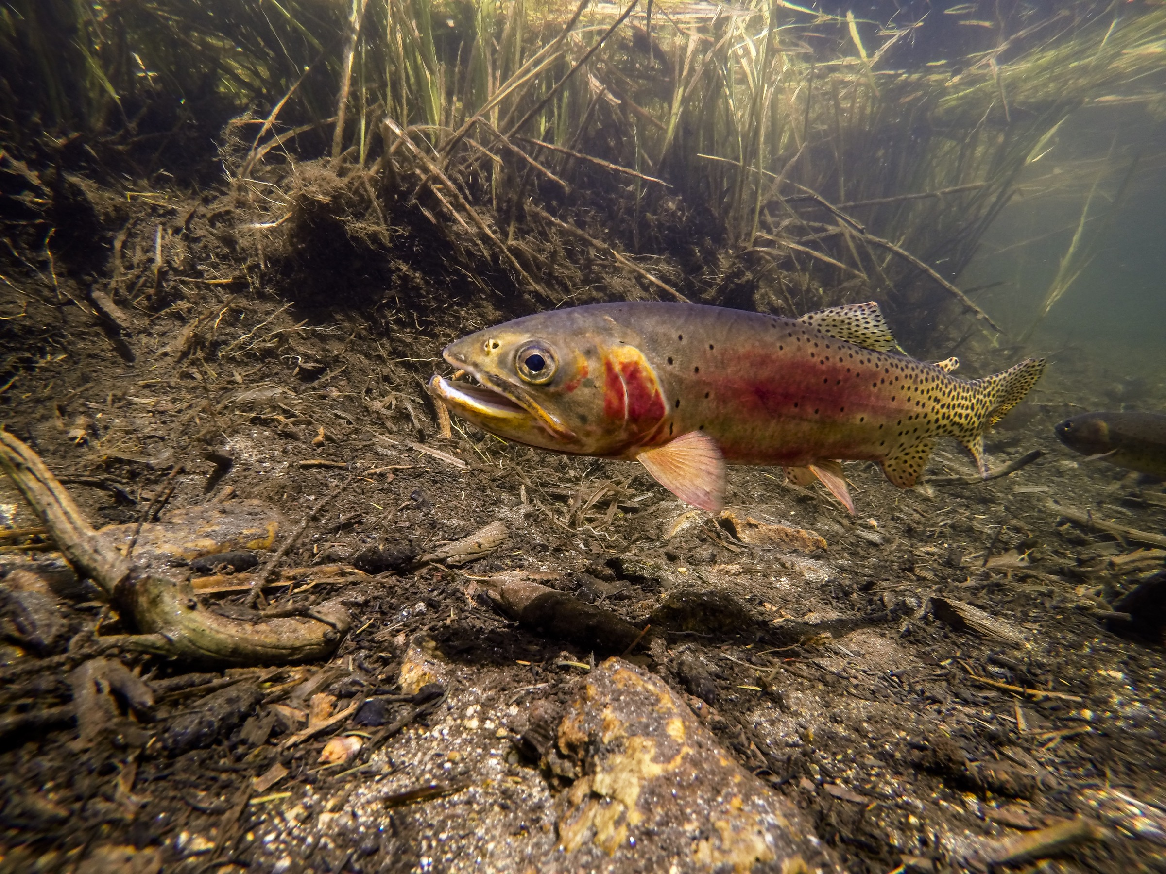 Cutthroat trout like this individual in a lake in Rocky Mountain National Park embodied a remarkably successful conservation effort—then biologists figured out they had restored the wrong fish. Photograph by William Hughes