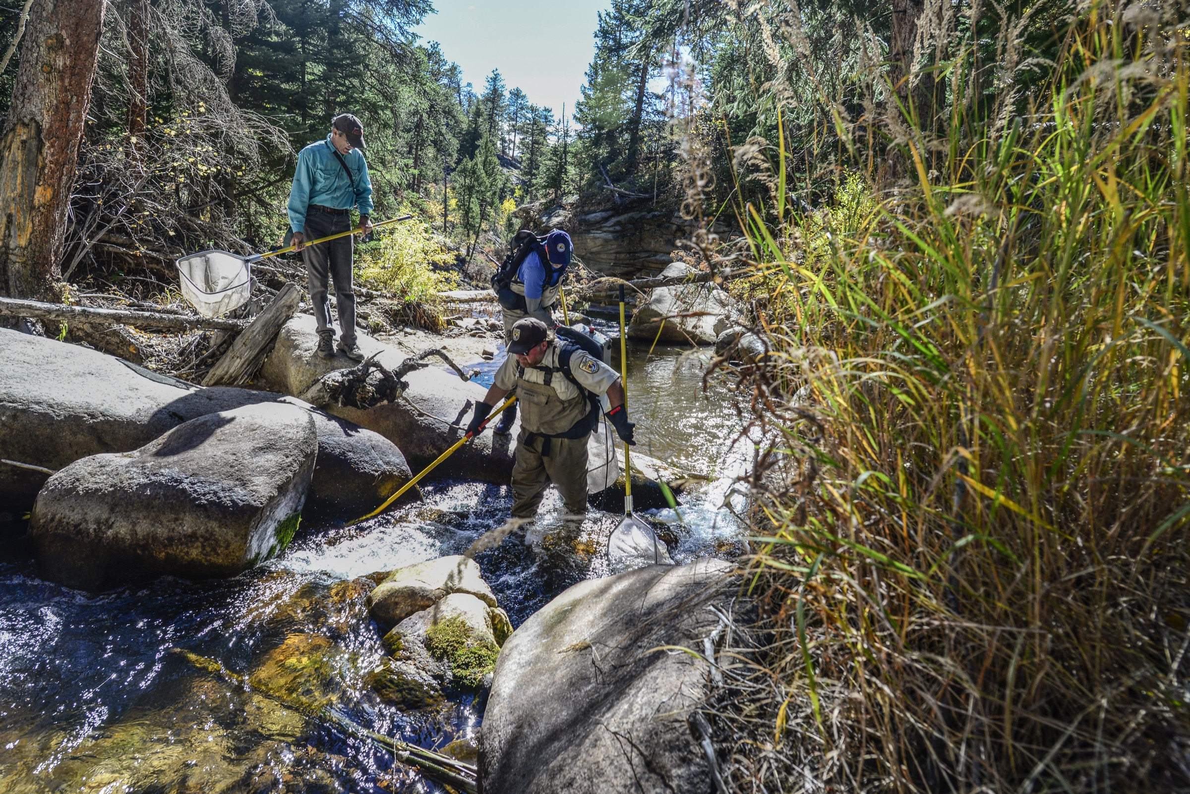 U.S. Fish and Wildlife Service biologist Chris Kennedy and his team work along Rocky Mountain National Park's West Creek, removing introduced cutthroat trout as they go. Photograph by Lindsay Fendt