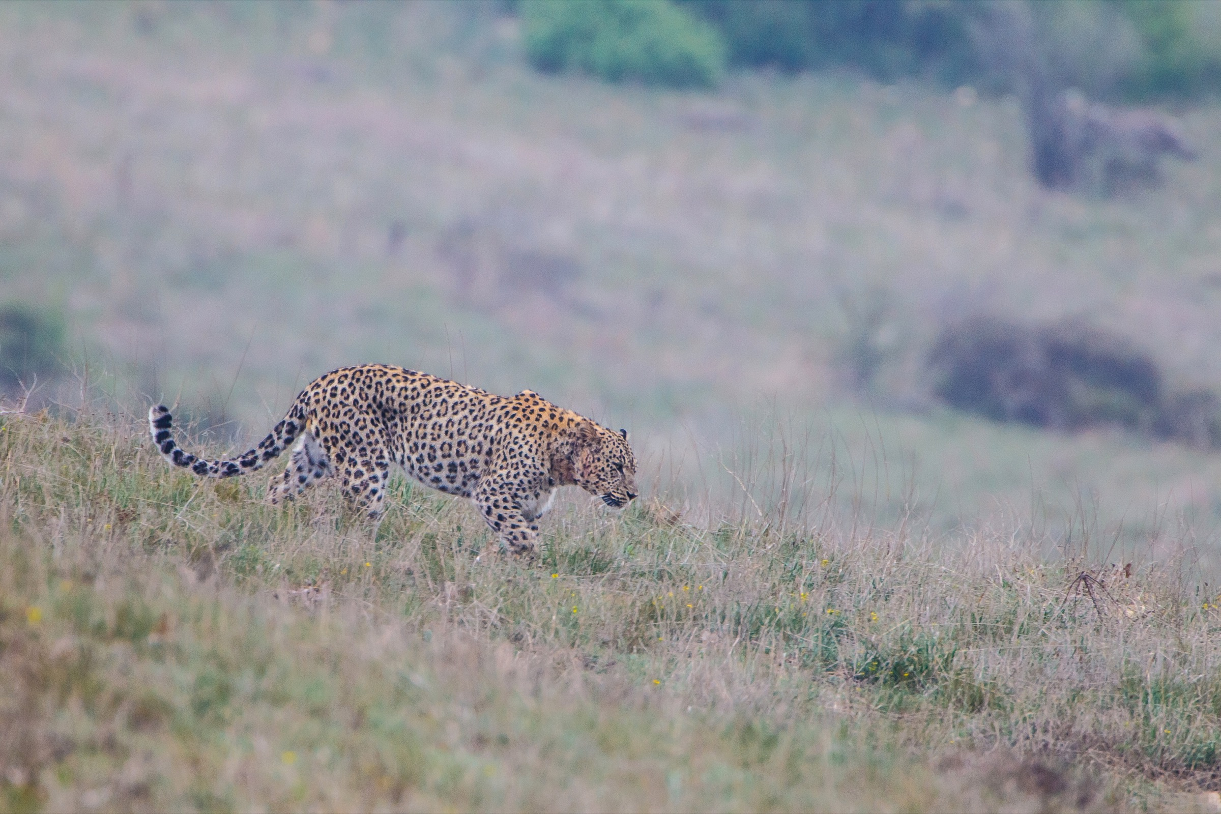 A male Persian leopard patrols its territory in Iran's Golestan National Park. Photograph by Behzad Farahanchi