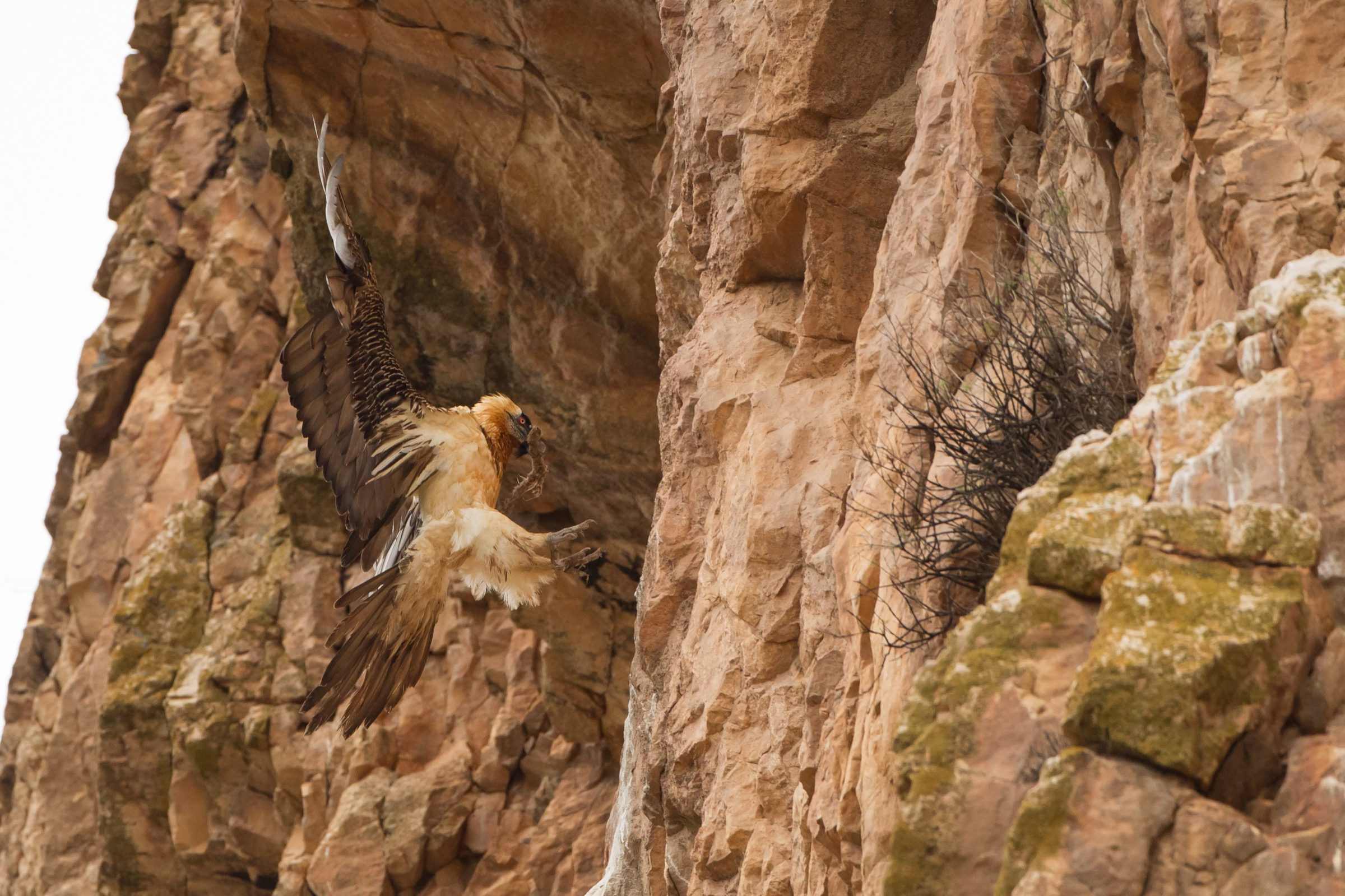 According to Iranian folklore, bearded vultures (<em>Gypaetus barbatus</em>), like this one in Iran's Golestan National Park, bring good luck to anyone fortunate enough to see one. A day after photographing this individual, Behzad Farahanchi encountered a Persian leopard, his holy grail of wildlife photography. Photograph by Behzad Farahanchi