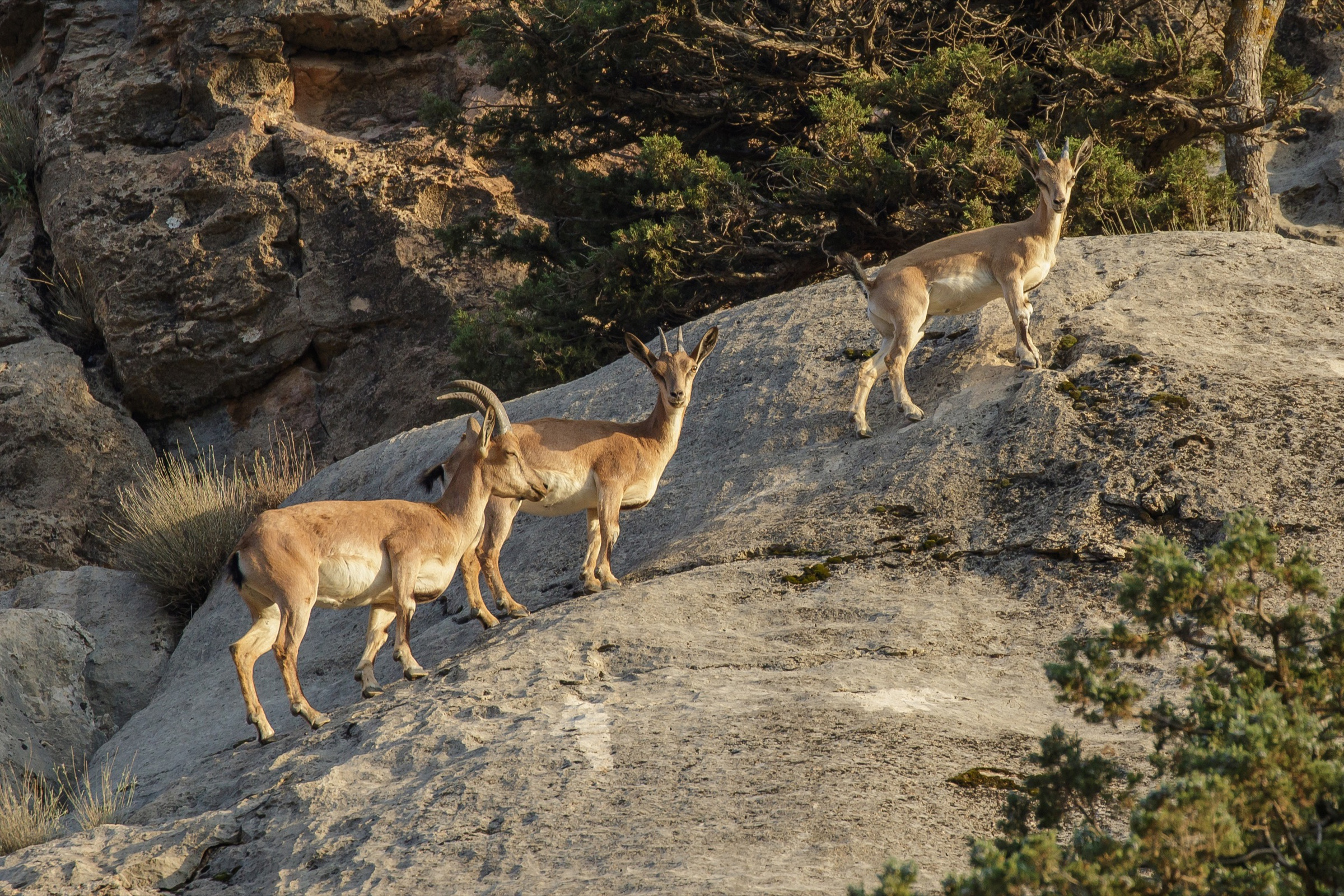 A female wild goat (<em>Capra aegagrus</em>) and her two offspring climb a steep, rocky slope in Iran's Golestan National Park. Photograph by Behzad Farahanchi