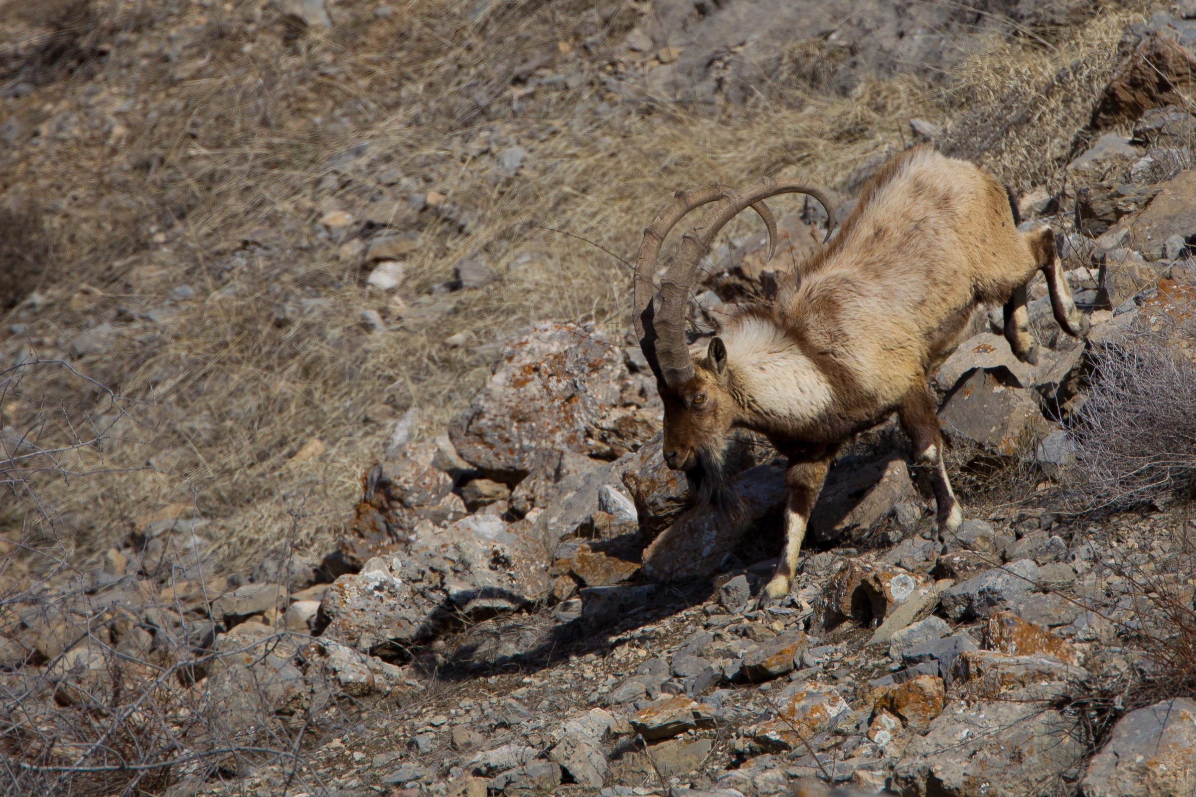 A male wild goat (<em>Capra aegagrus</em>) descends a steep, rocky slope in northeastern Iran's Tandooreh National Park. Photograph by Behzad Farahanchi