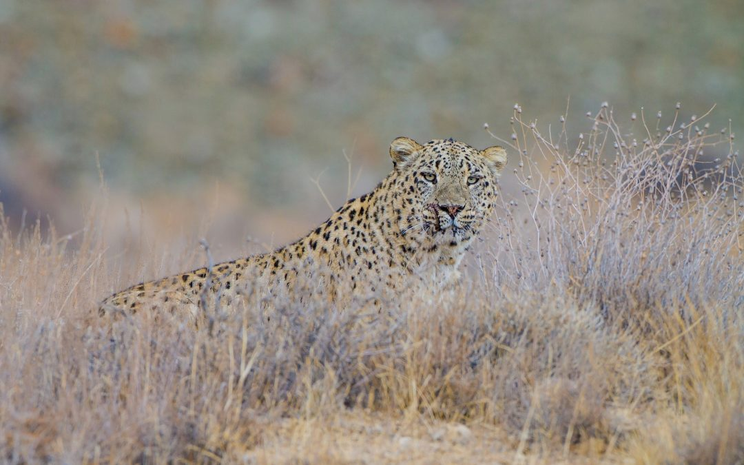 A male Persian leopard (Panthera pardus saxicolor) surveys its territory in Iran's Golestan National Park. Photograph by Behzad Farahanchi
