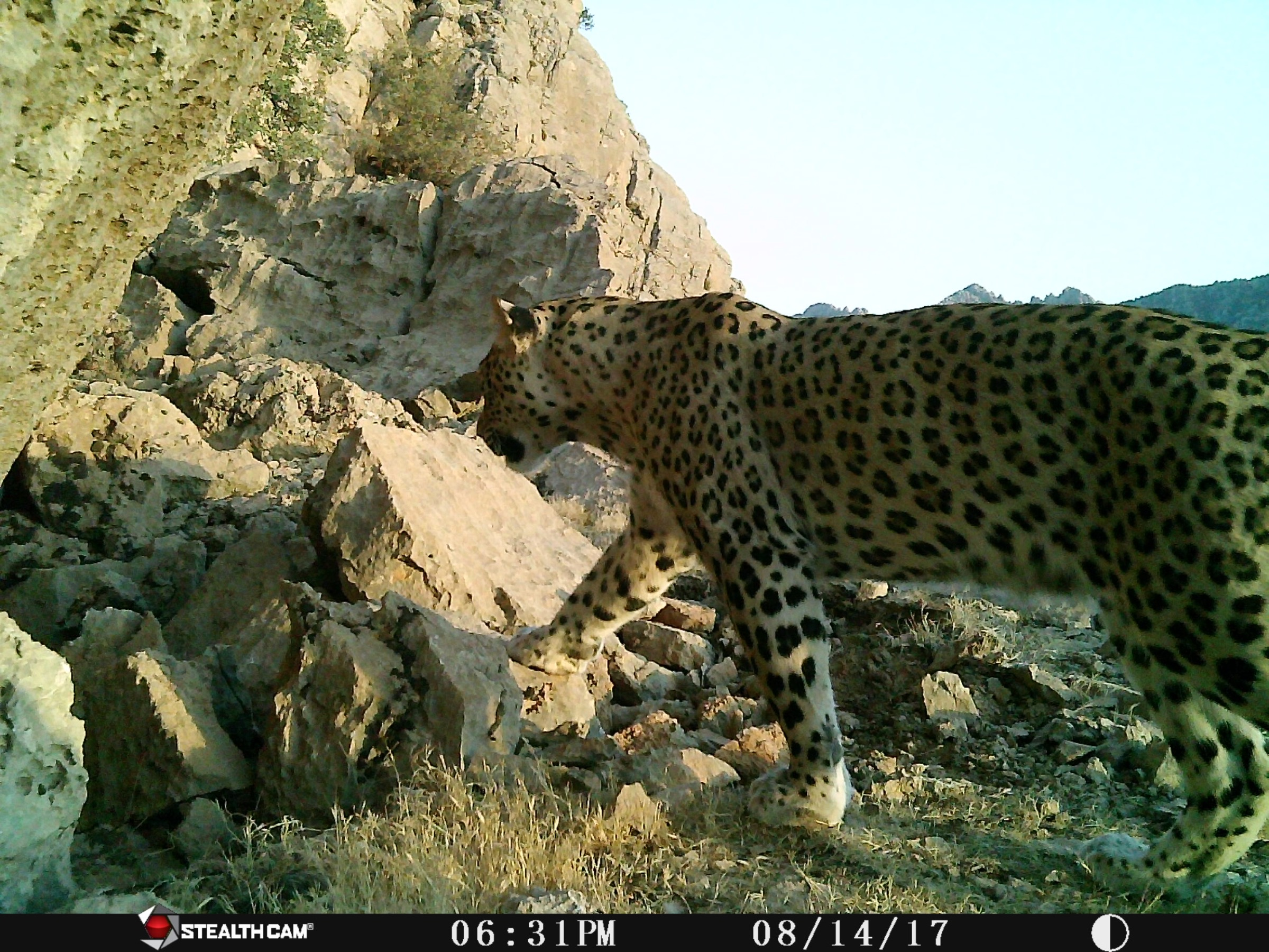 Camera traps set by Hana Raza, Korsh Ararat, and others at Nature Iraq have captured multiple sightings of three male Persian leopards in Iraq's Qara Dagh district. Raza estimates that there may be as many as 10 leopards in the area. Photograph ©Nature Iraq/German Consulate General/Goldman Environmental Foundation, 2017