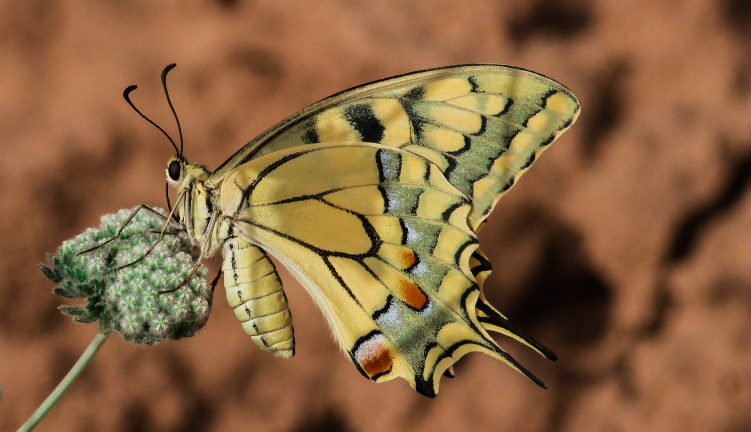 Hana Raza and others at Nature Iraq argue that protecting Persian leopard habitat will benefit countless other creatures in the region, like this southern swallowtail butterfly (<em>Papilio alexanor</em>). Photograph by Korsh Ararat