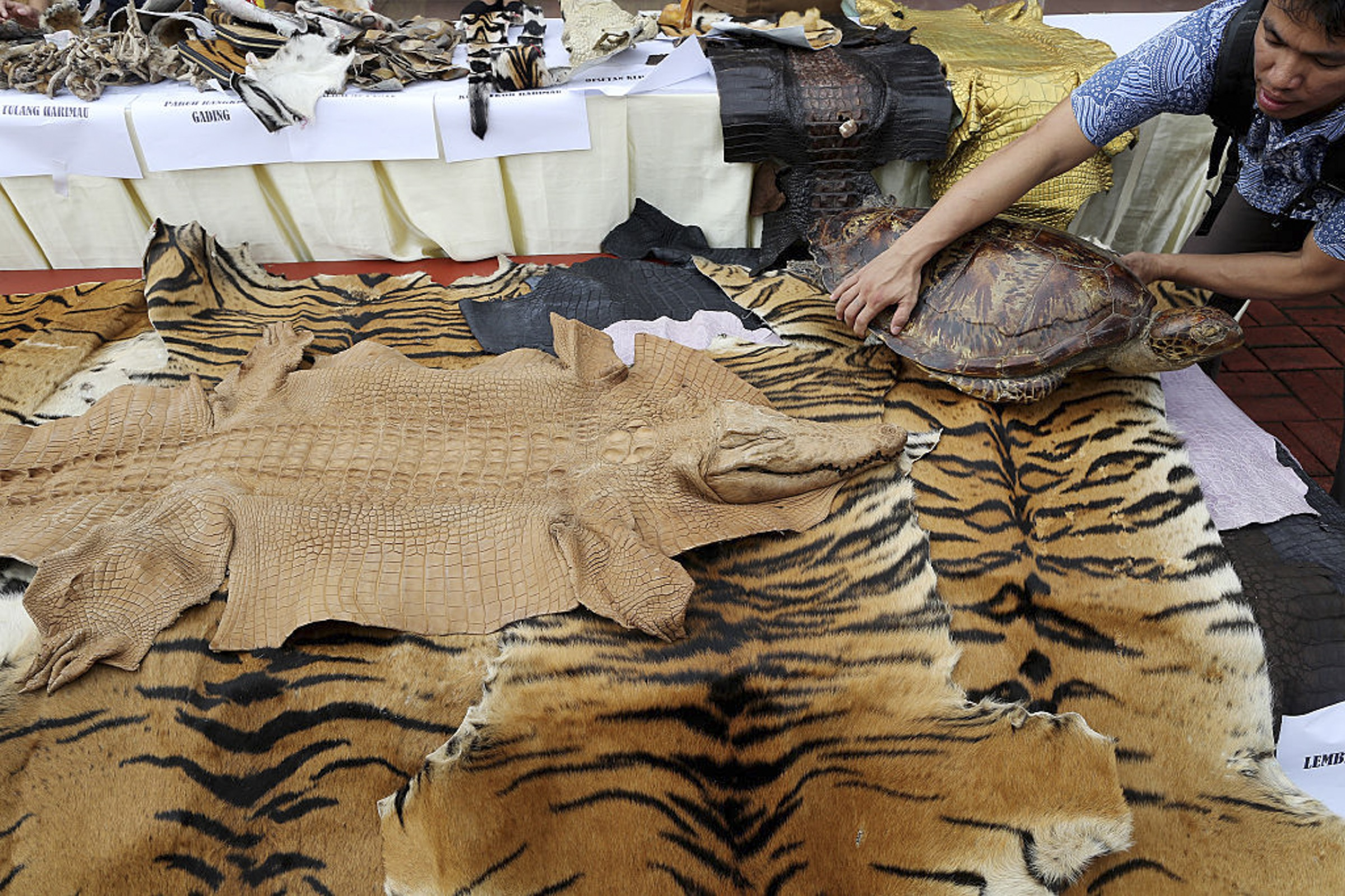 Indonesian police showcase confiscated tiger, crocodile, and turtle skins and carcasses before burning them at the National Police Headquarters in Jakarta in 2016, in an effort to discourage wildlife smuggling. Photograph by Jefta Images / Barcroft Media / Barcroft Media via Getty Images