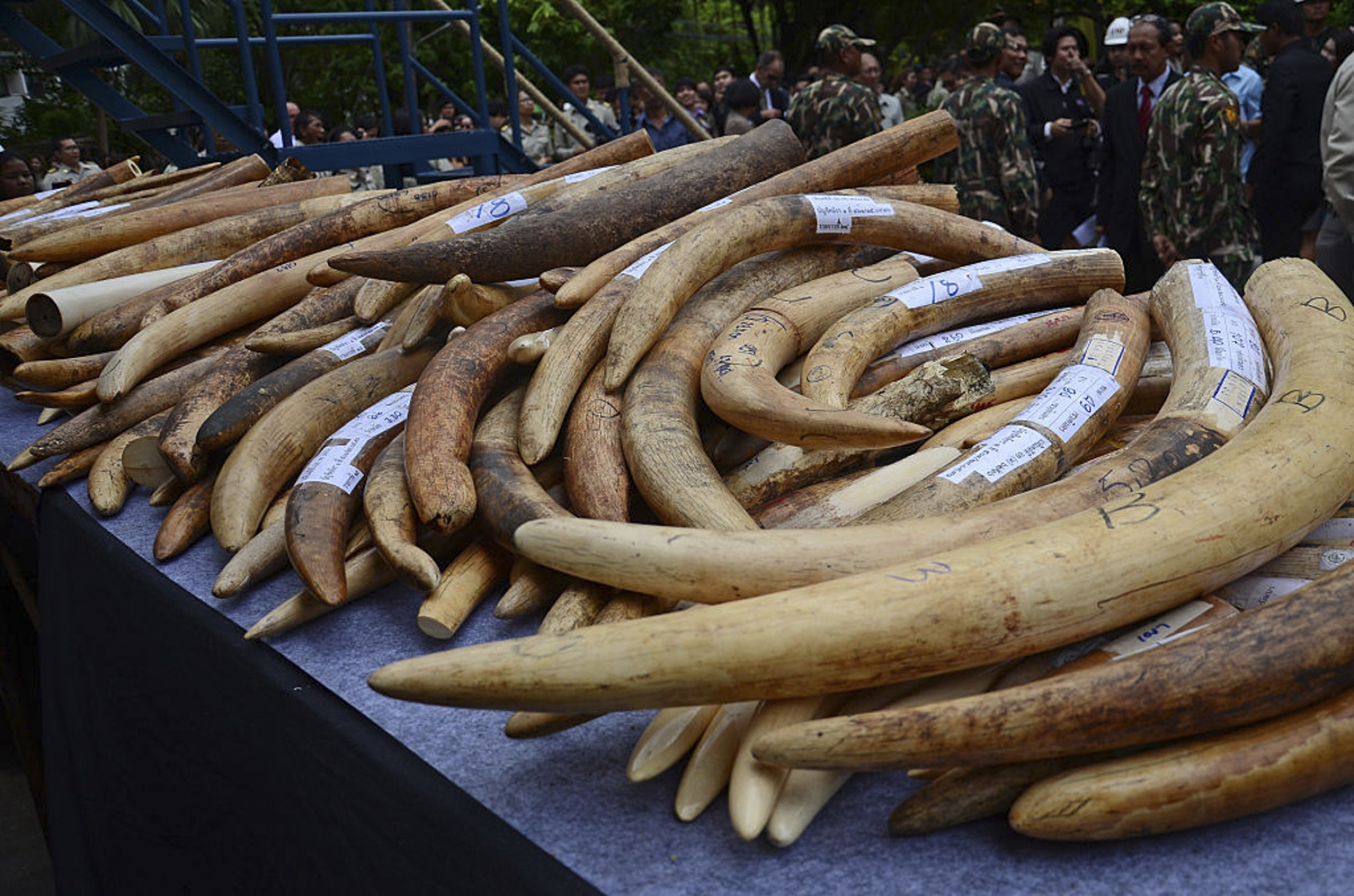 This pile of illegal ivory was part of a campaign to destroy more that 2 tons of illegal ivory at the Department of National Parks in Bangkok, Thailand in 2015. Photograph by NurPhoto/NurPhoto via Getty Images