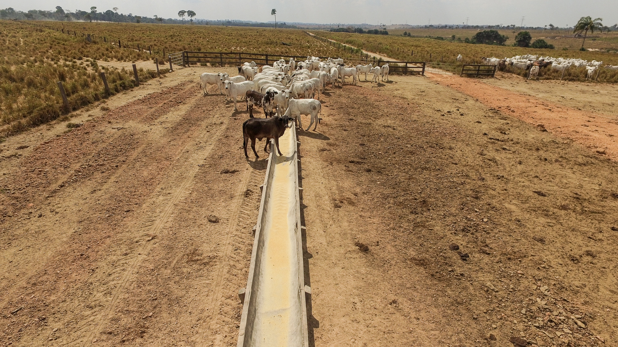 At the feeding troughs on the Nossa Senhora Aparecida ranch, the white cows are a breed called Nelore. The brown and black cows are Aberdeen angus, which is a cross between Nelore and Angus.Photograph by Christina Selby