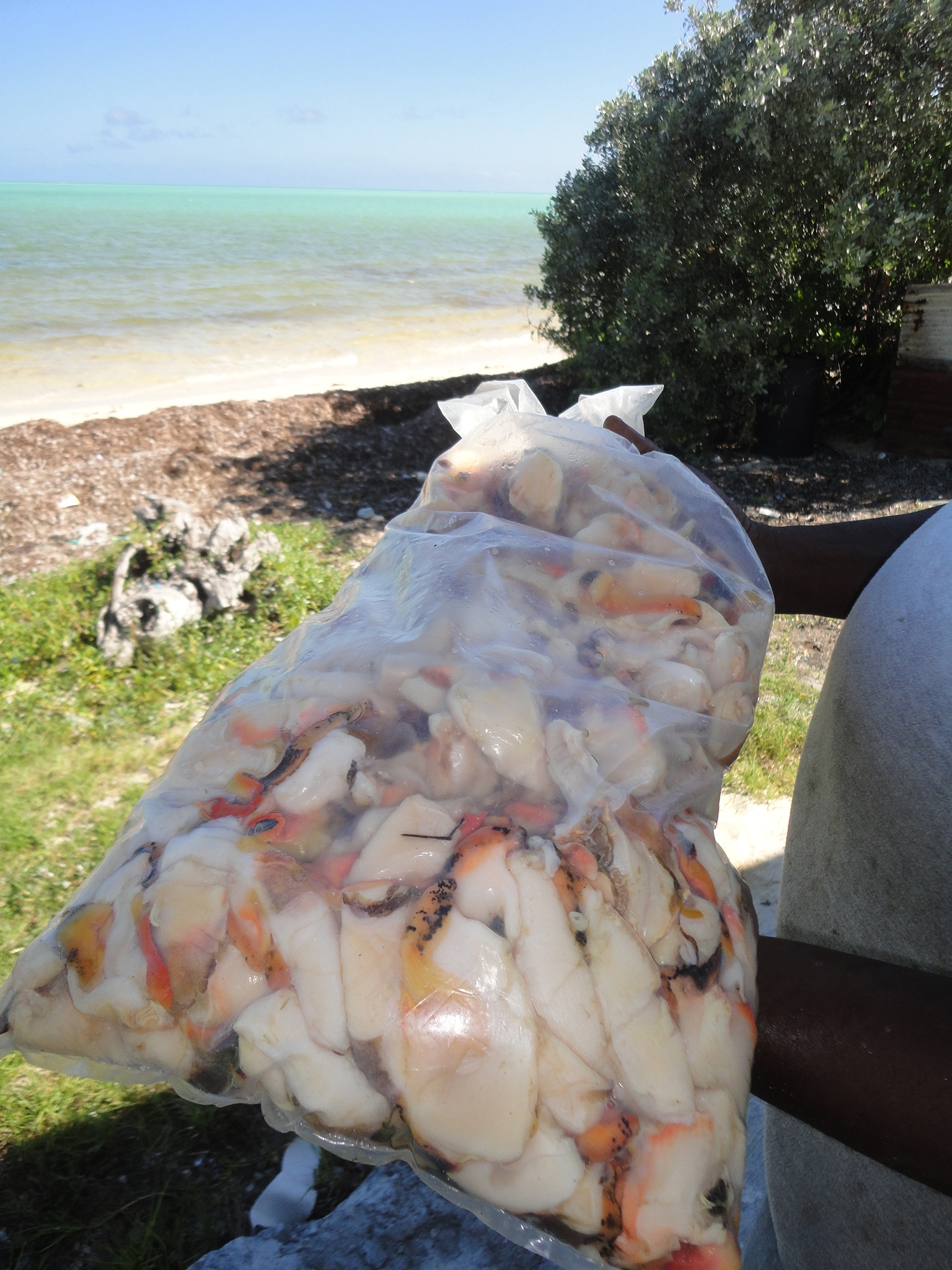This bag of fresh conch was harvested by Leo Forbes and is destined for Nassau, the only market Forbes has access to at the moment. Photograph by David Brian Butvill