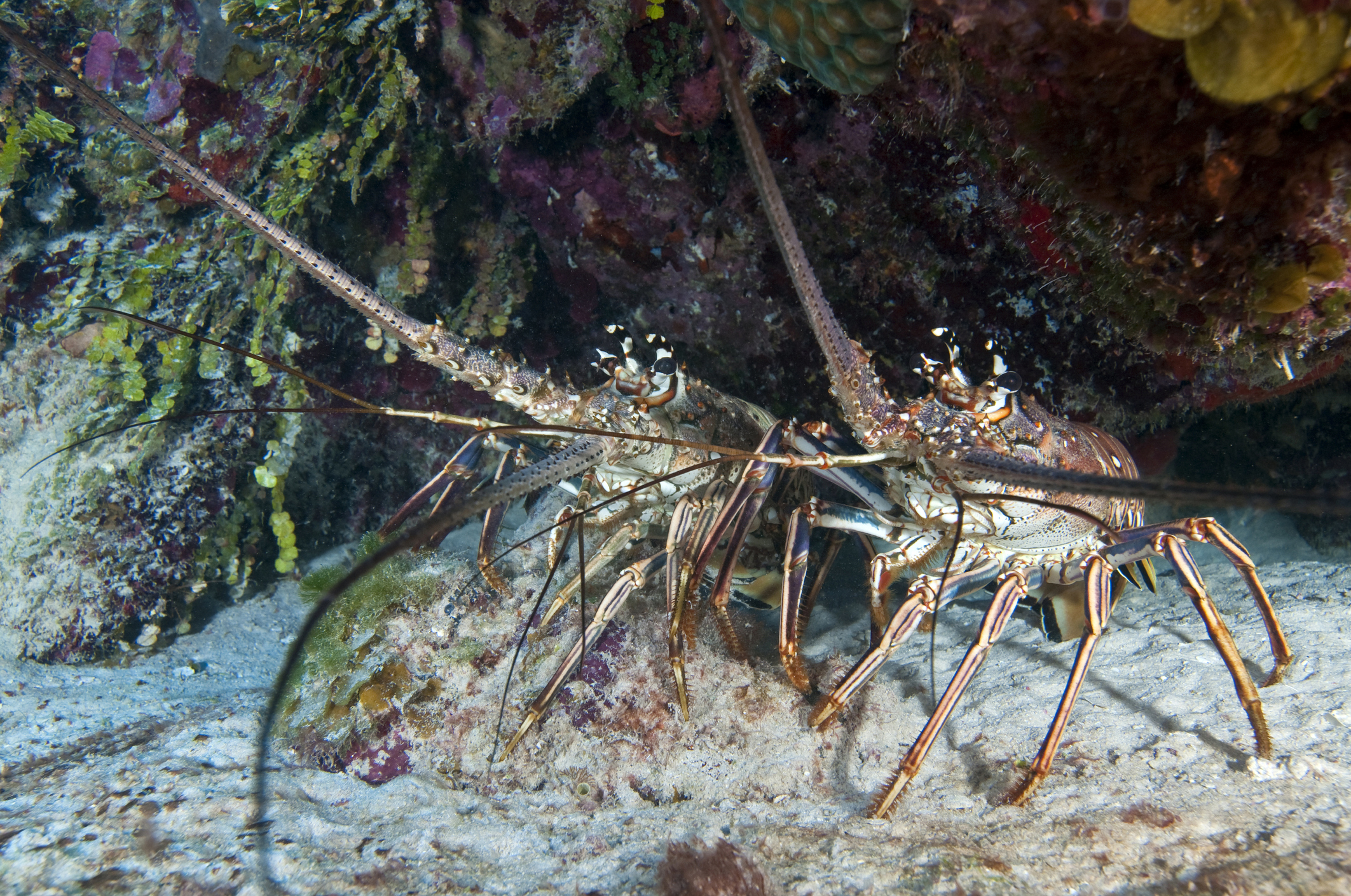 Caribbean spiny lobsters (Panulirus argus) are one of several commercially important species for the people of Andros Island. Catch limits and the protection of nursery habitats are key to ensuring the viability of this valuable fishery. Photograph by Karen Doody/Stocktrek Images/Getty