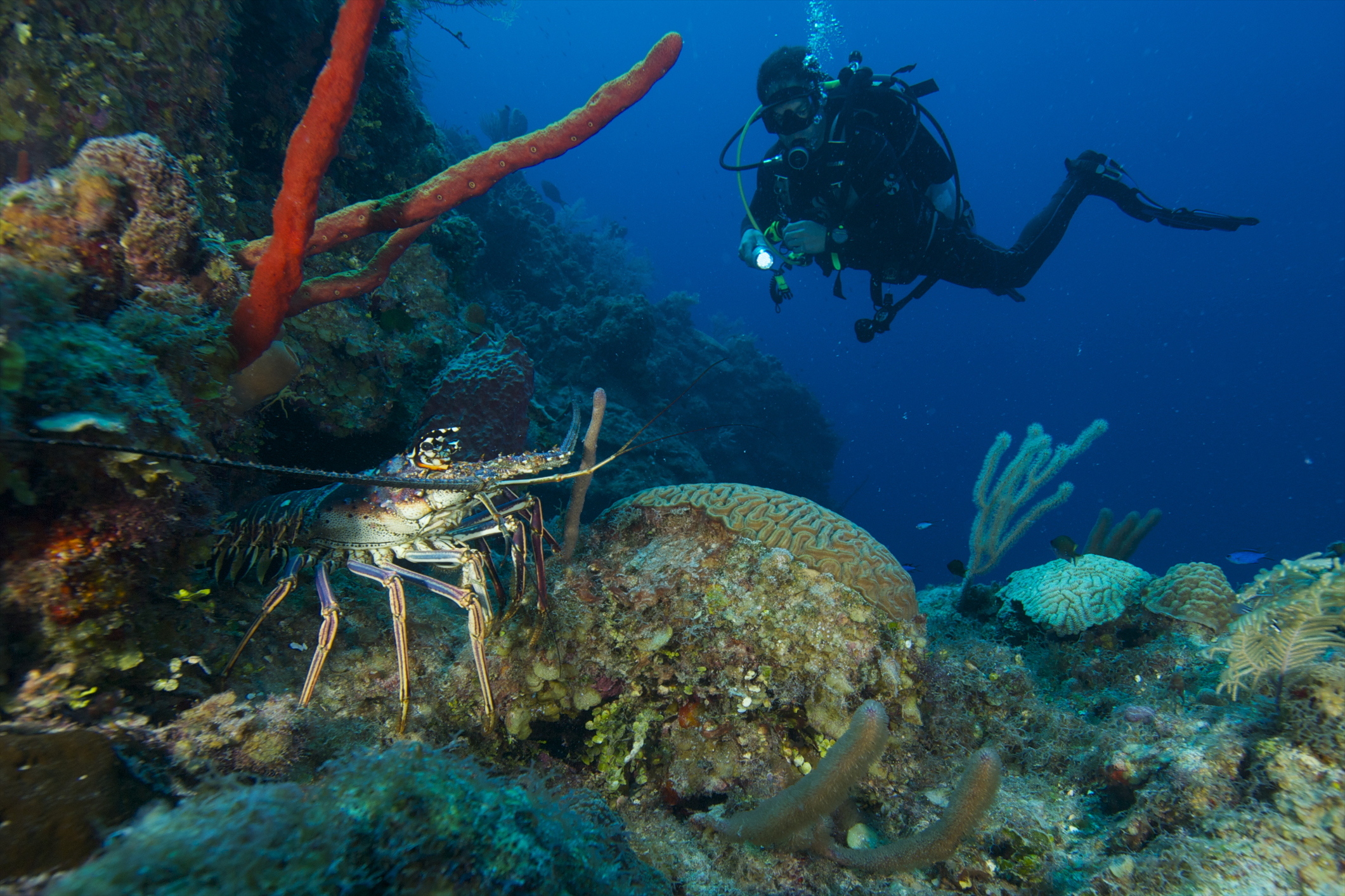 Scuba divers and Caribbean spiny lobsters both benefit from a healthy reef ecosystem off the coast of Andros Island. Photograph by Jad Davenport/Getty
