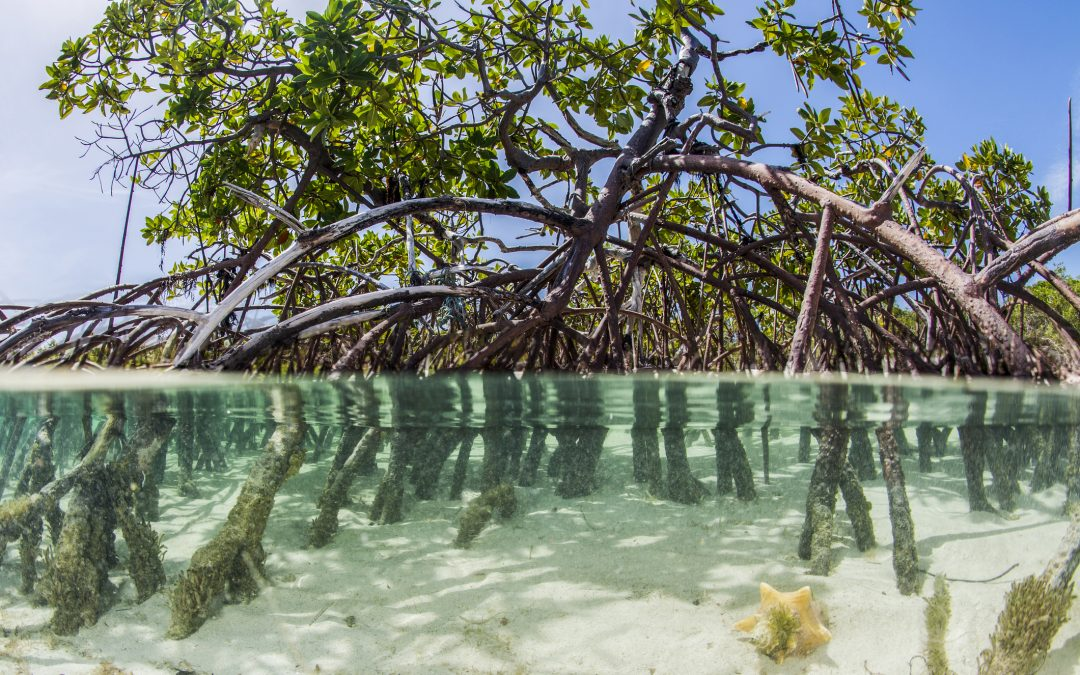 The roots of mangroves provide critical structure along tropical coastlines, stabilizing the shoreline, absorbing the damaging energy of storms, and providing critical habitat for many ocean creatures. Photograph by Danita Delimont/Getty