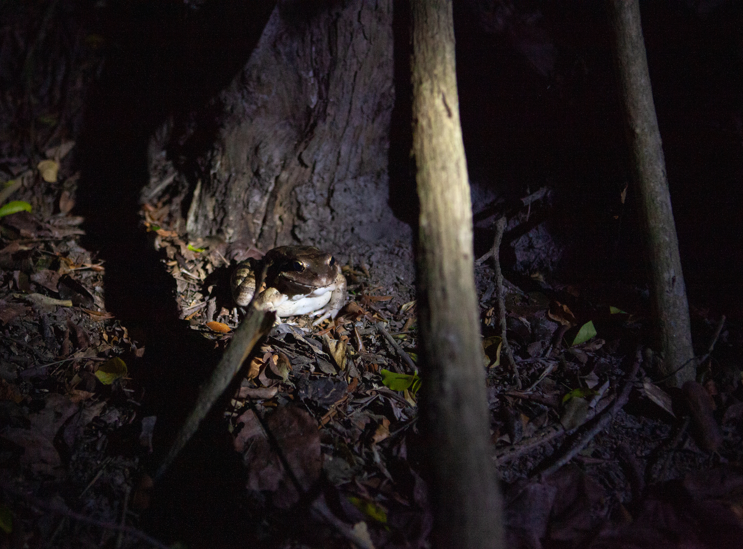 A headlamp beam illuminates a mountain chicken, one of 27 recently released into semi-wild enclosures on Montserrat. Photograph by Geoffrey Giller