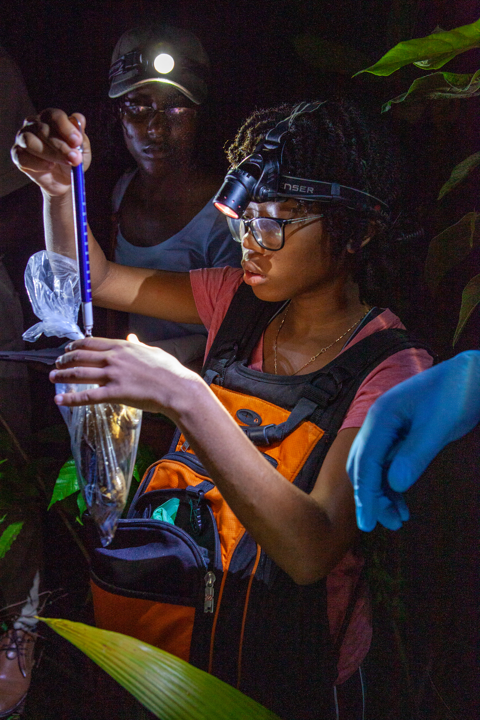Illuminated by headlamps, Tiffany Mason weighs a wild mountain chicken during a survey on Dominica. Photograph by Geoffrey Giller