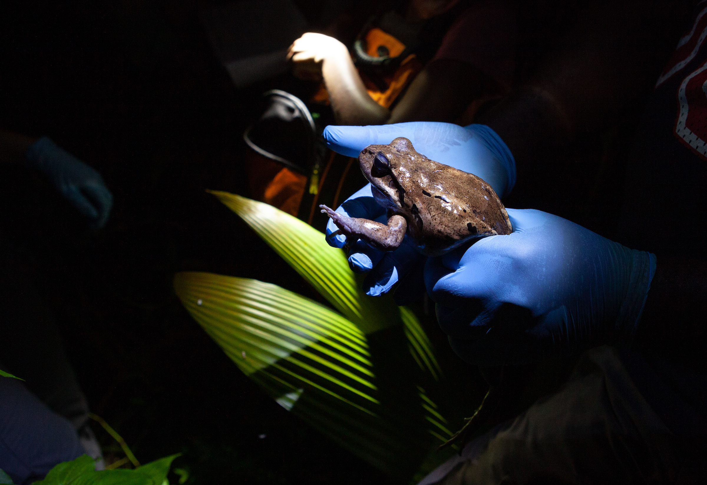 A member of a mountain chicken survey team holds one of the frogs on Dominica. Scientists hope to learn what has enabled a few frogs to survive chytrid fungus. Photograph by Geoffrey Giller
