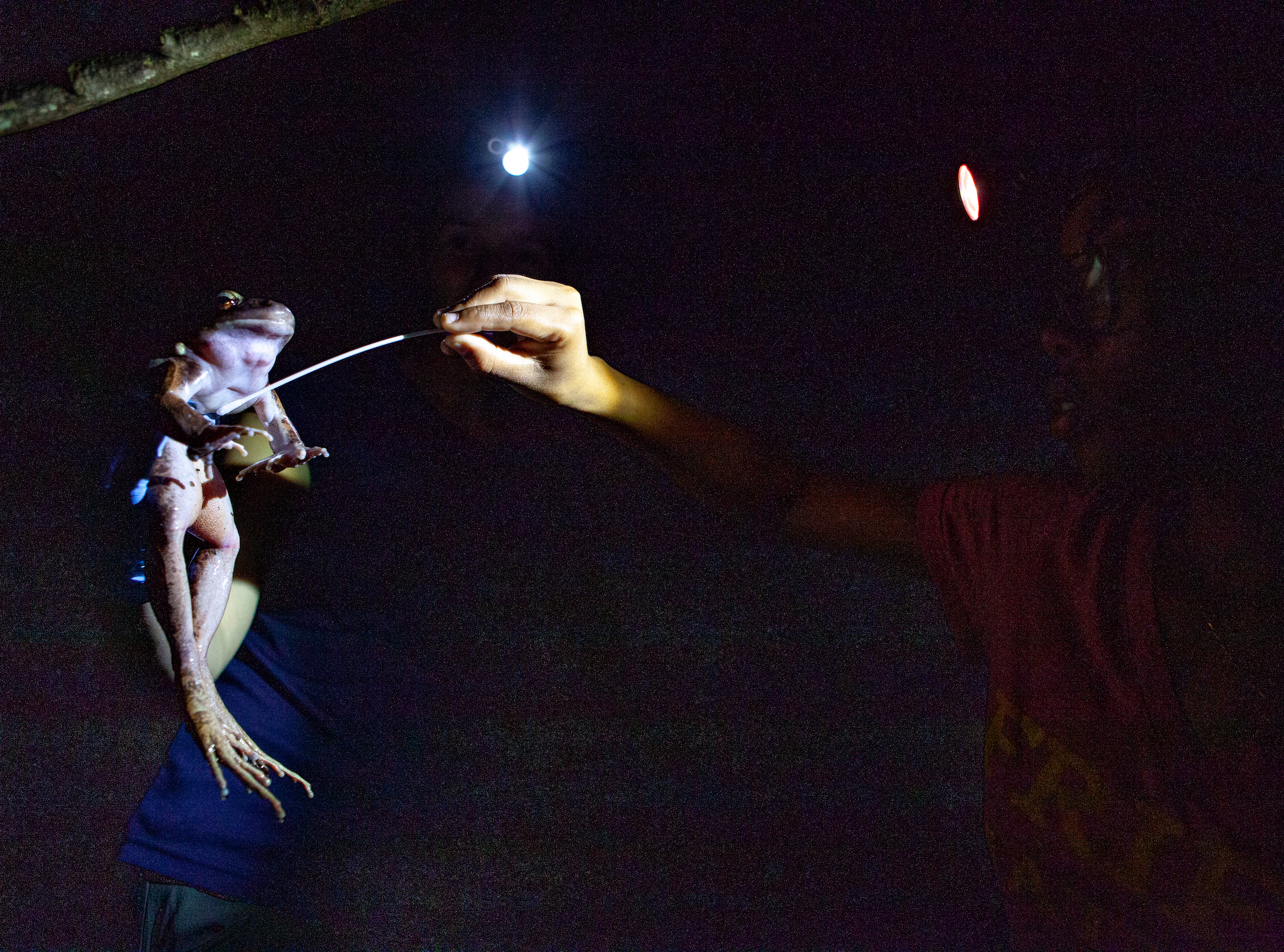 As Nina White (left) holds a captured mountain chicken, Tiffany Mason swabs its stomach. White hopes to use these swabs to figure out what has allowed some mountain chickens on Dominica to withstand chytrid. Photograph by Geoffrey Giller
