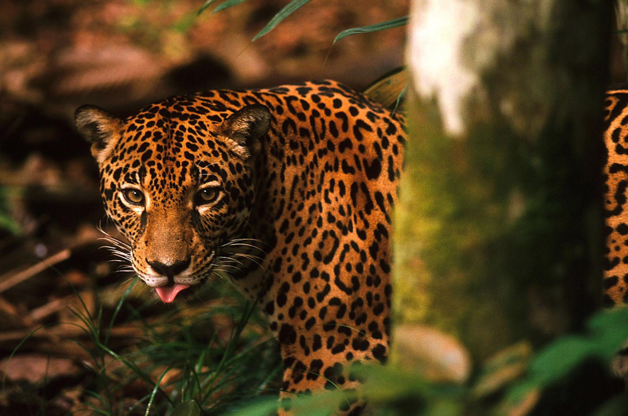 A jaguar (<em>Panthera onca</em>) in the Brazilian Amazon. Photograph by Rodrigo Baleia