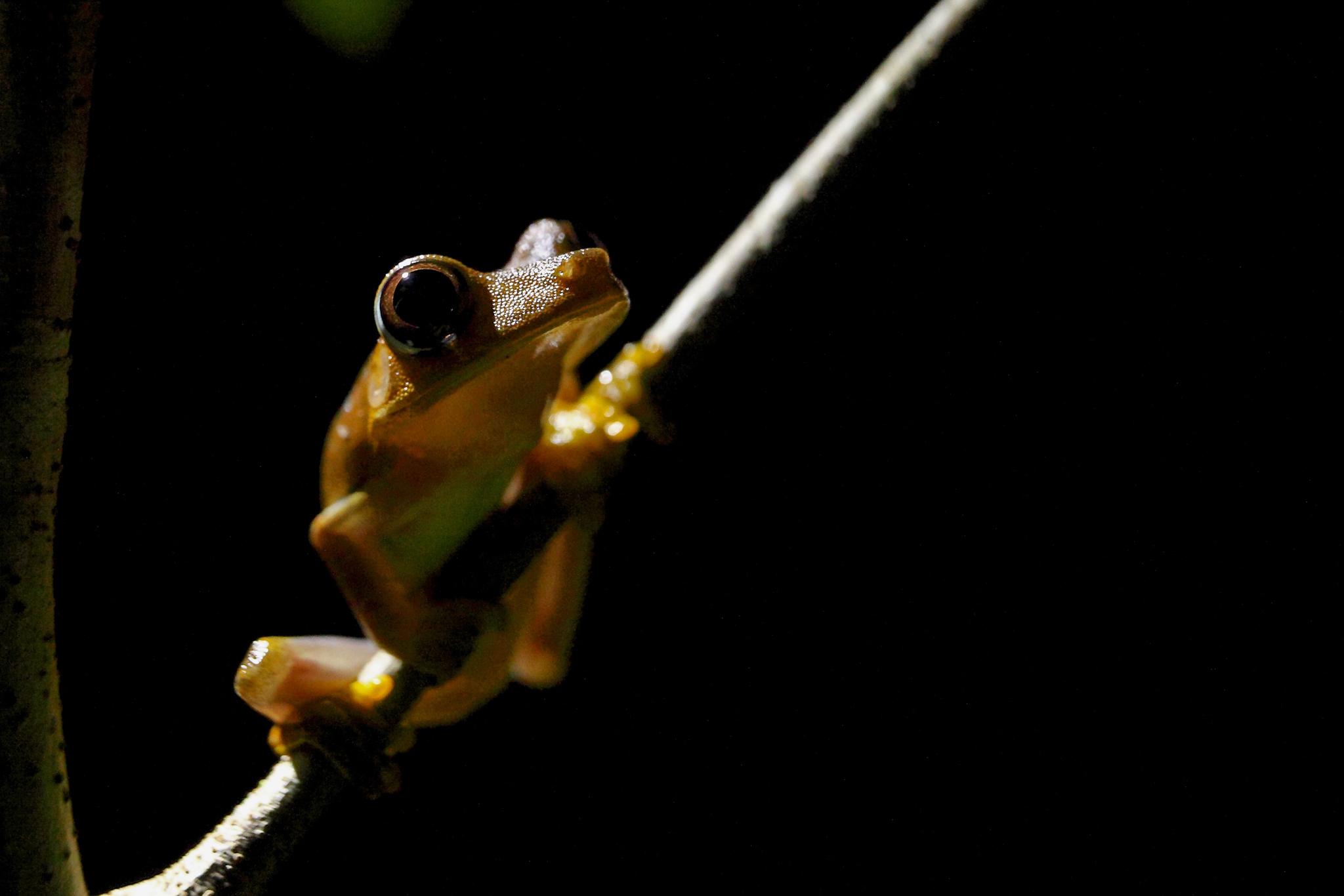 A tree frog (<em>Boana</em> sp) in the Amazon rainforest. Photograph by Rodrigo Baleia