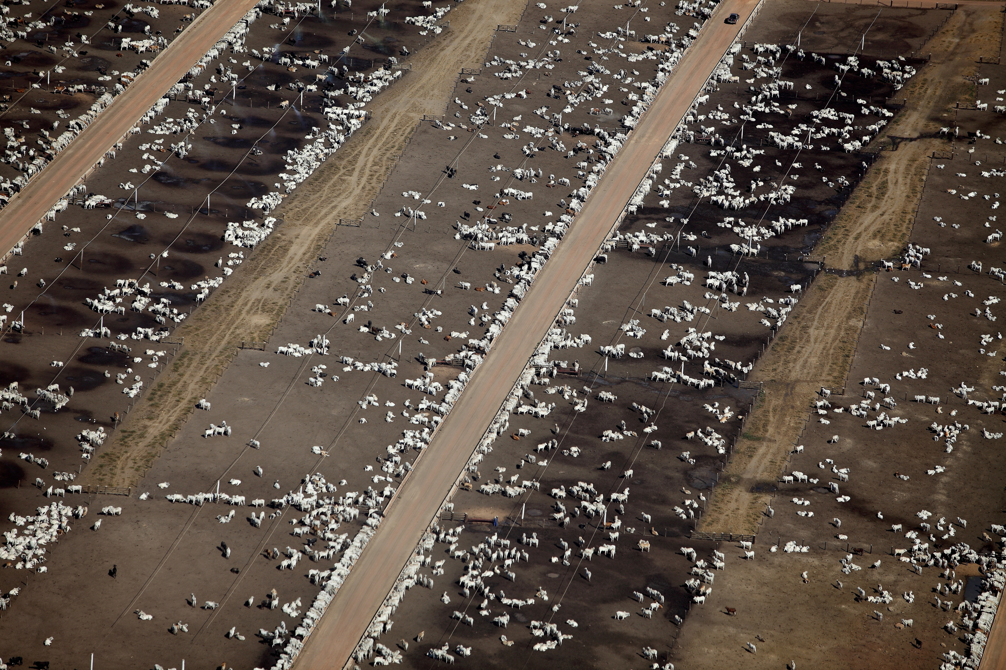 Livestock wait to go to theslaughterhouses in northern Mato Grosso. Photograph by Rodrigo Baleia
