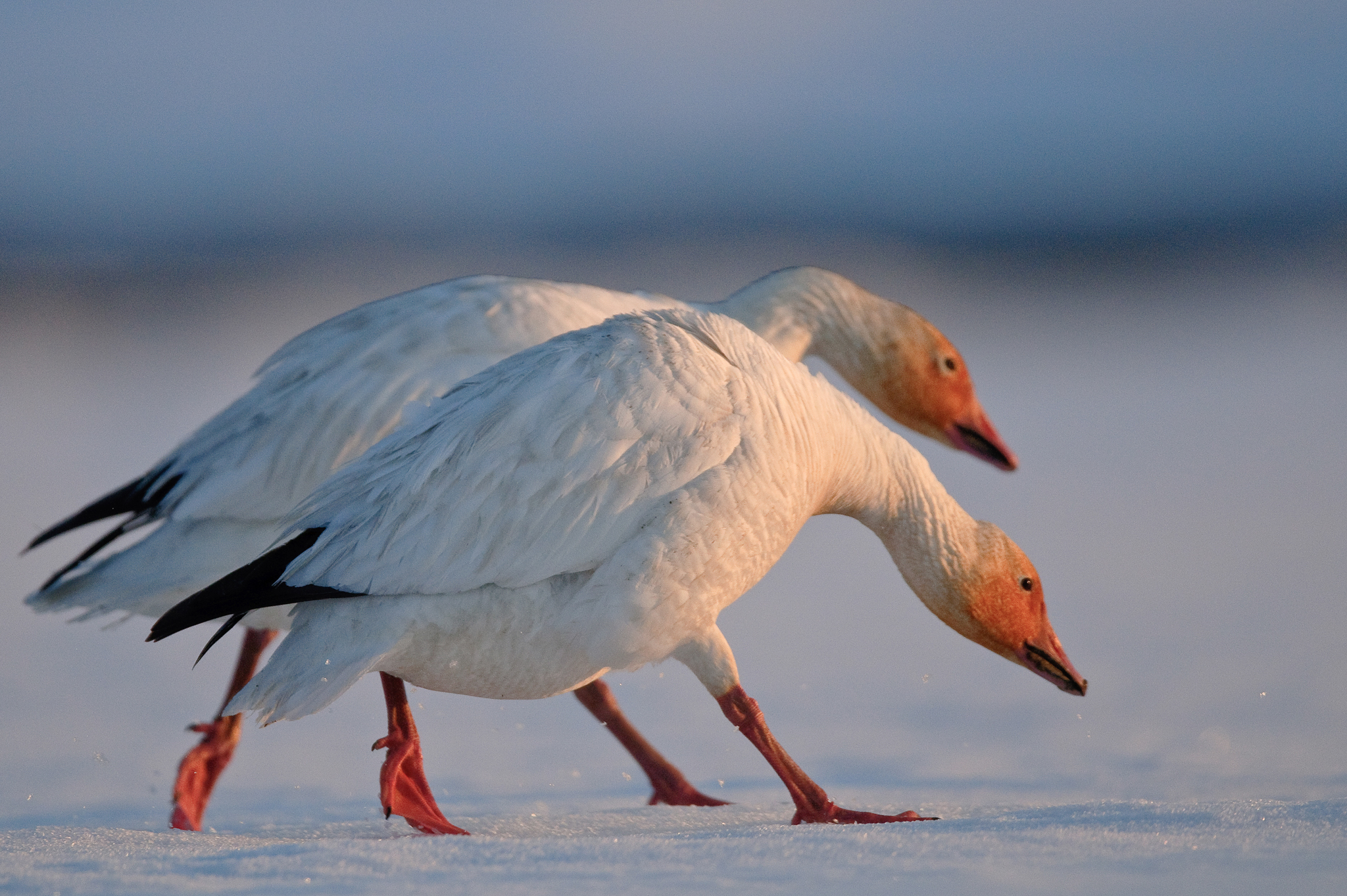 The only population of snow geese in all of Asia breeds on Wrangel island. The population's numbers are now recovering from historic lows.