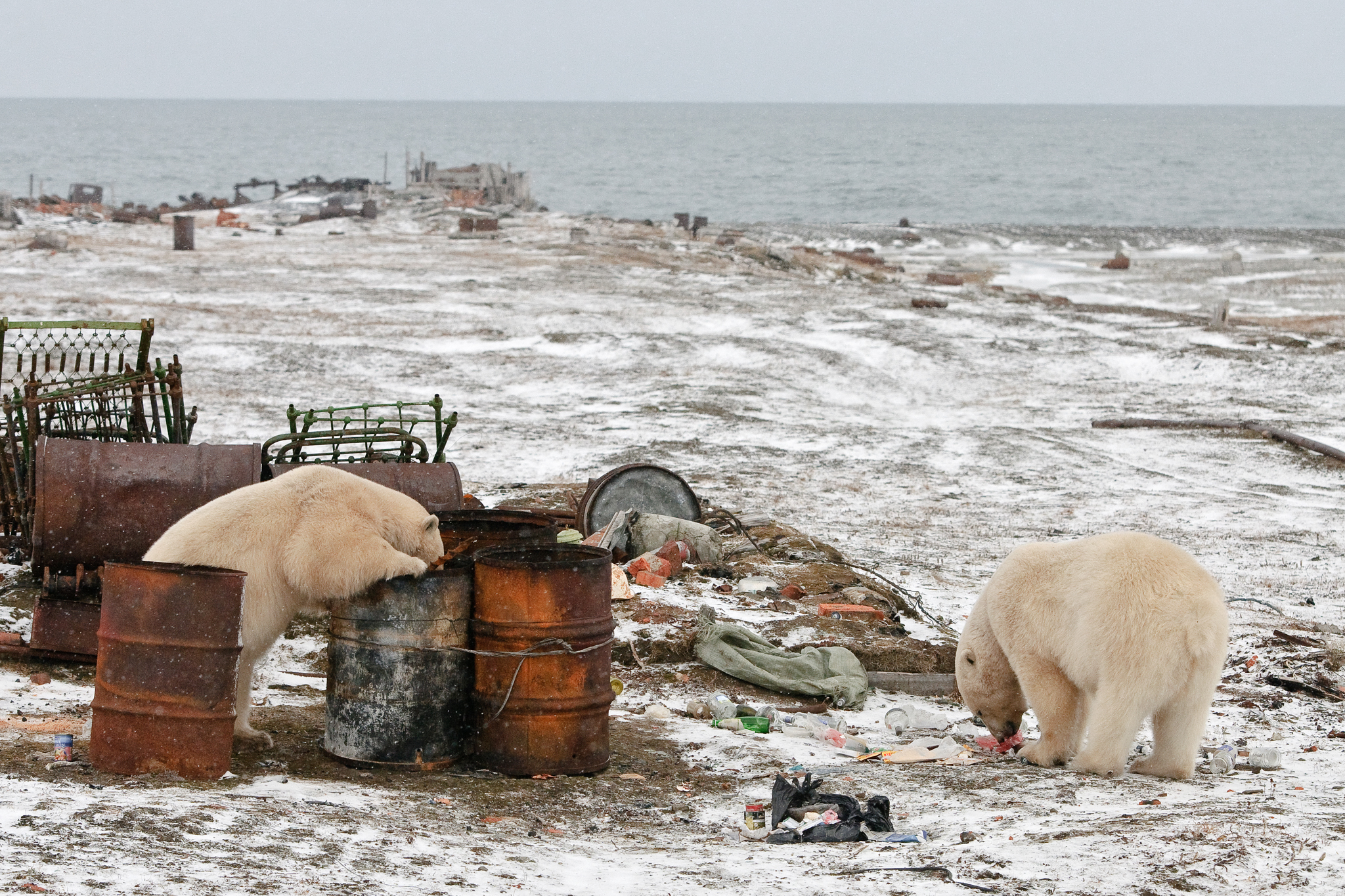 Polar bears dig through discarded barrels on the island, searching for calories wherever they can find them.