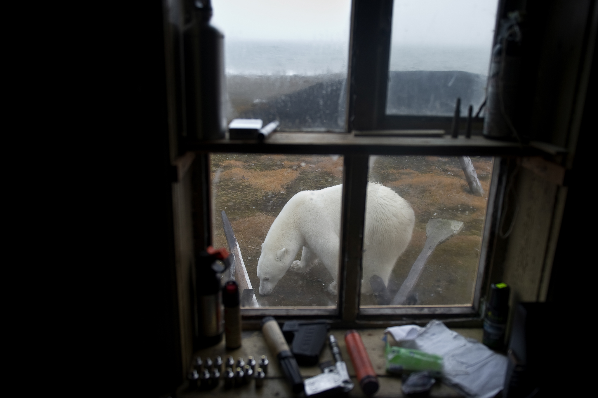 A polar bear can be seen through the window in one of the few buildings on the island. As the human presence on Wrangel grows, some fear an increase in conflicts between bears and people.