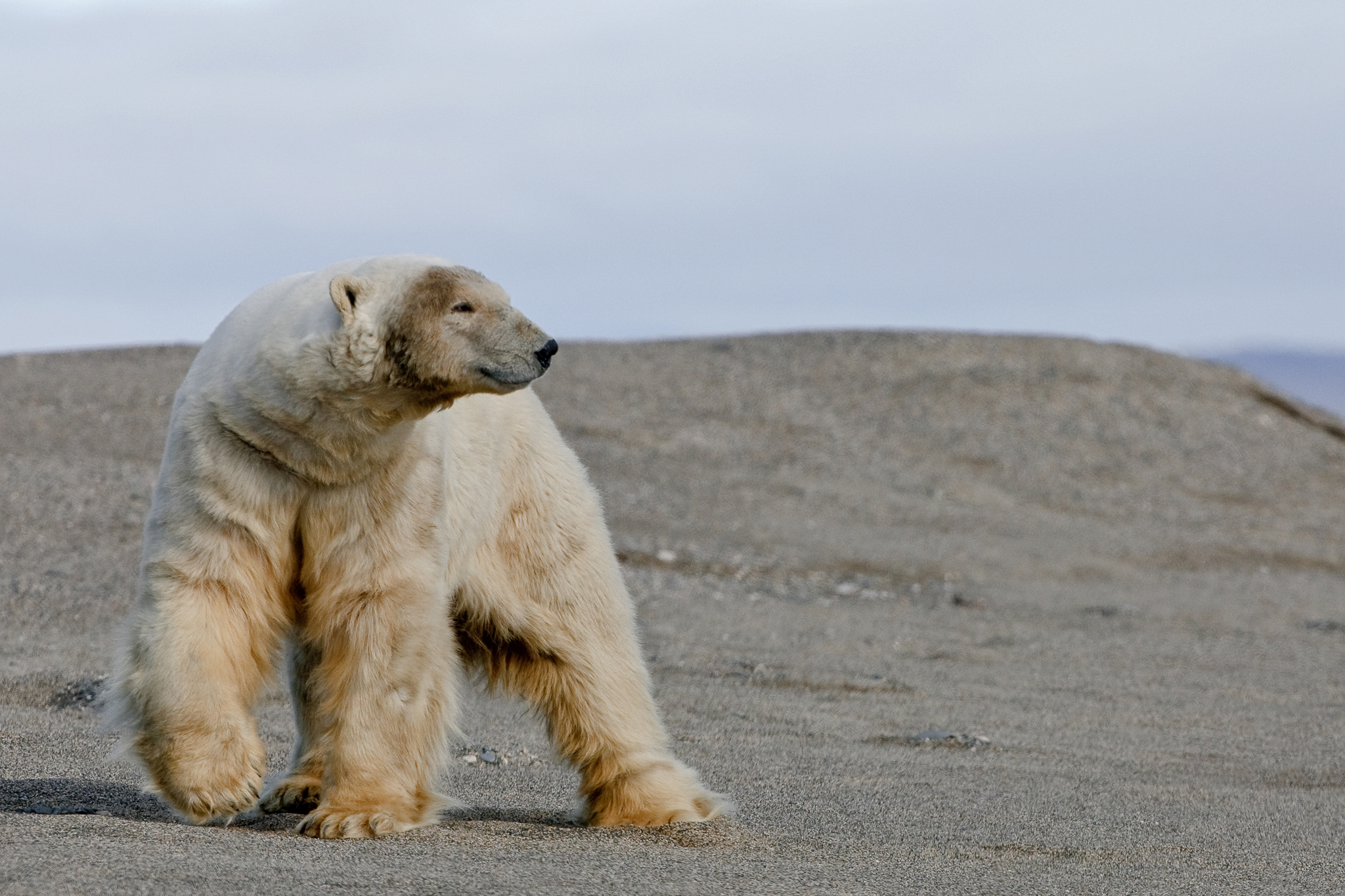 A polar bear (Ursus maritimus) combs one of Wrangel Island's many beaches, perhaps looking for a carcass washed up onshore.