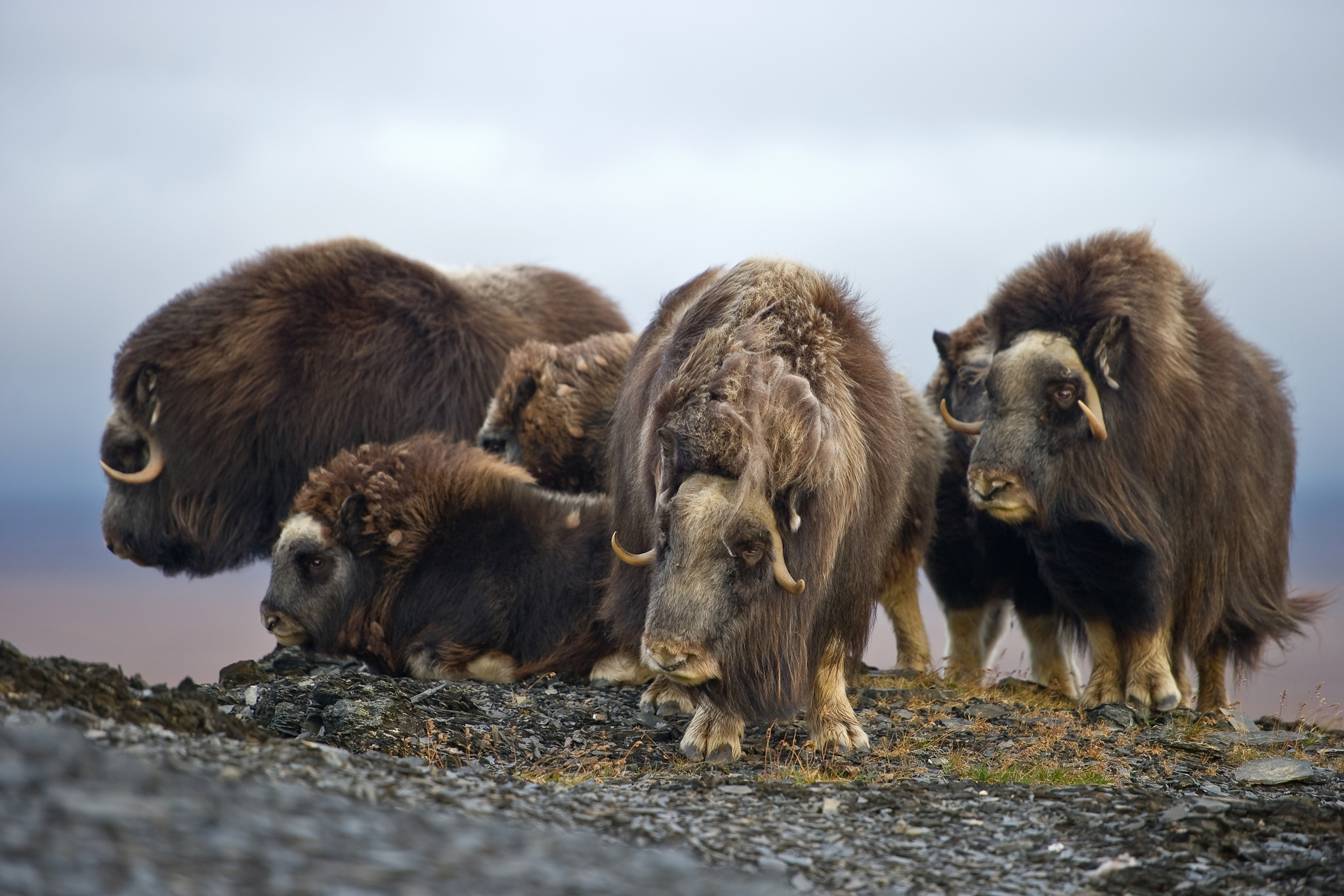A herd of muskoxen (Ovibos moschatus) traverses Wrangel Island. A population of 20 muskoxen were reintroduced here from Canada in 1975. Paleontology records show that the animals lived on the island during the late Pleistocene.
