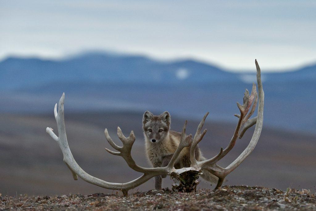 An arctic fox (Vulpes lagopus) standing next to a reindeer skull on Wrangel Island.