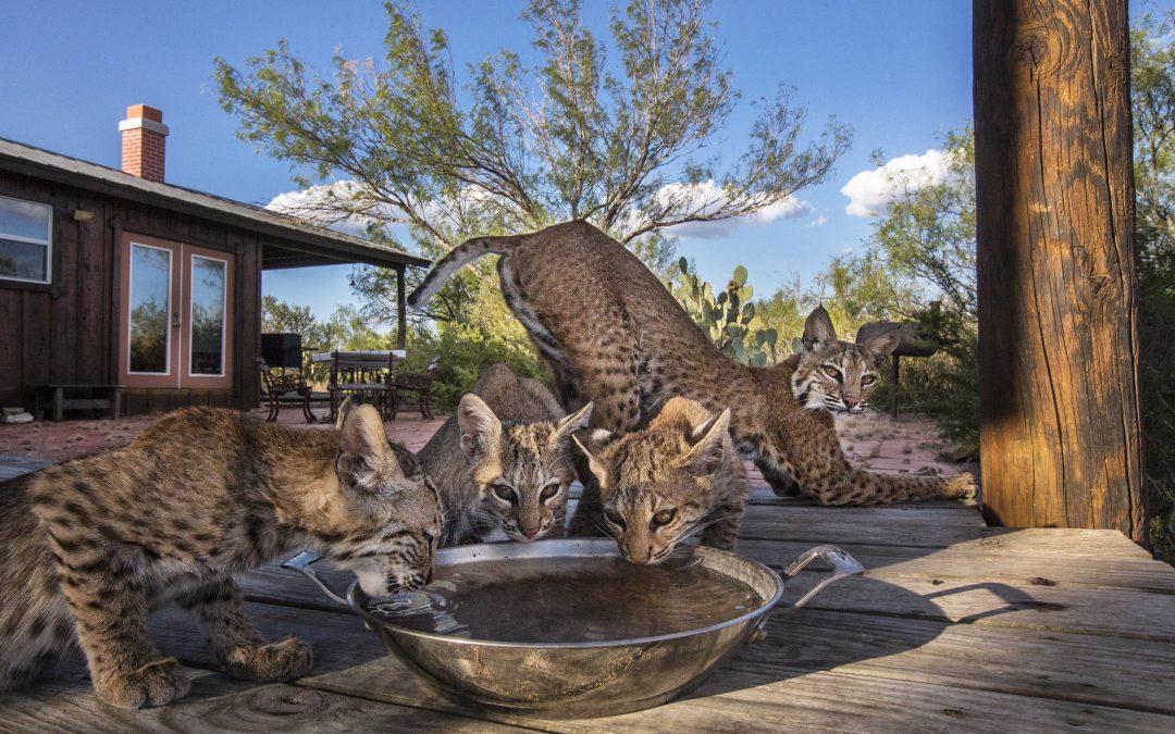 Bobcat Manor