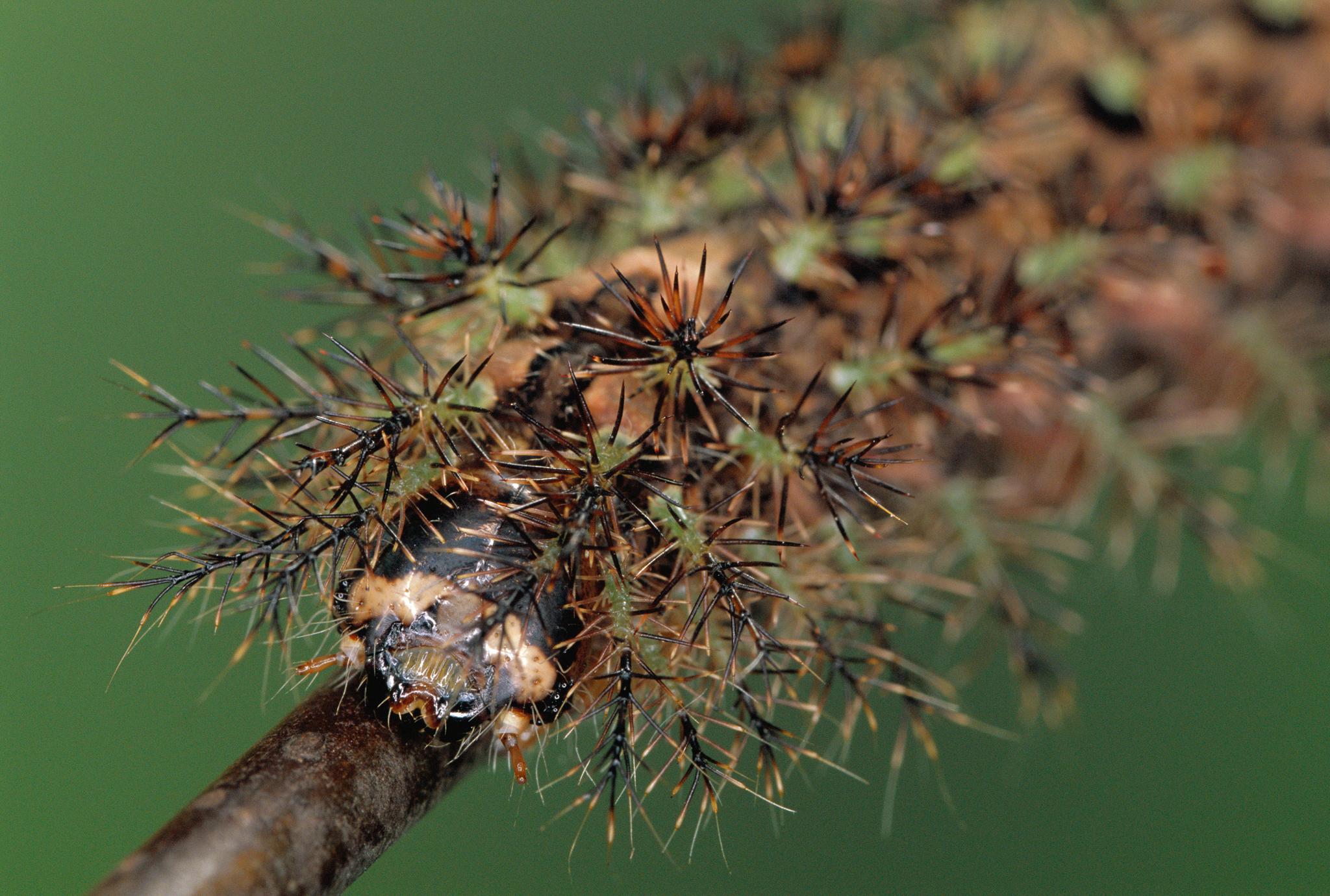 A giant silkworm moth caterpillar (<em>Lonomia cyniva</em>) with spines on display—Photo by Ingo Arndt