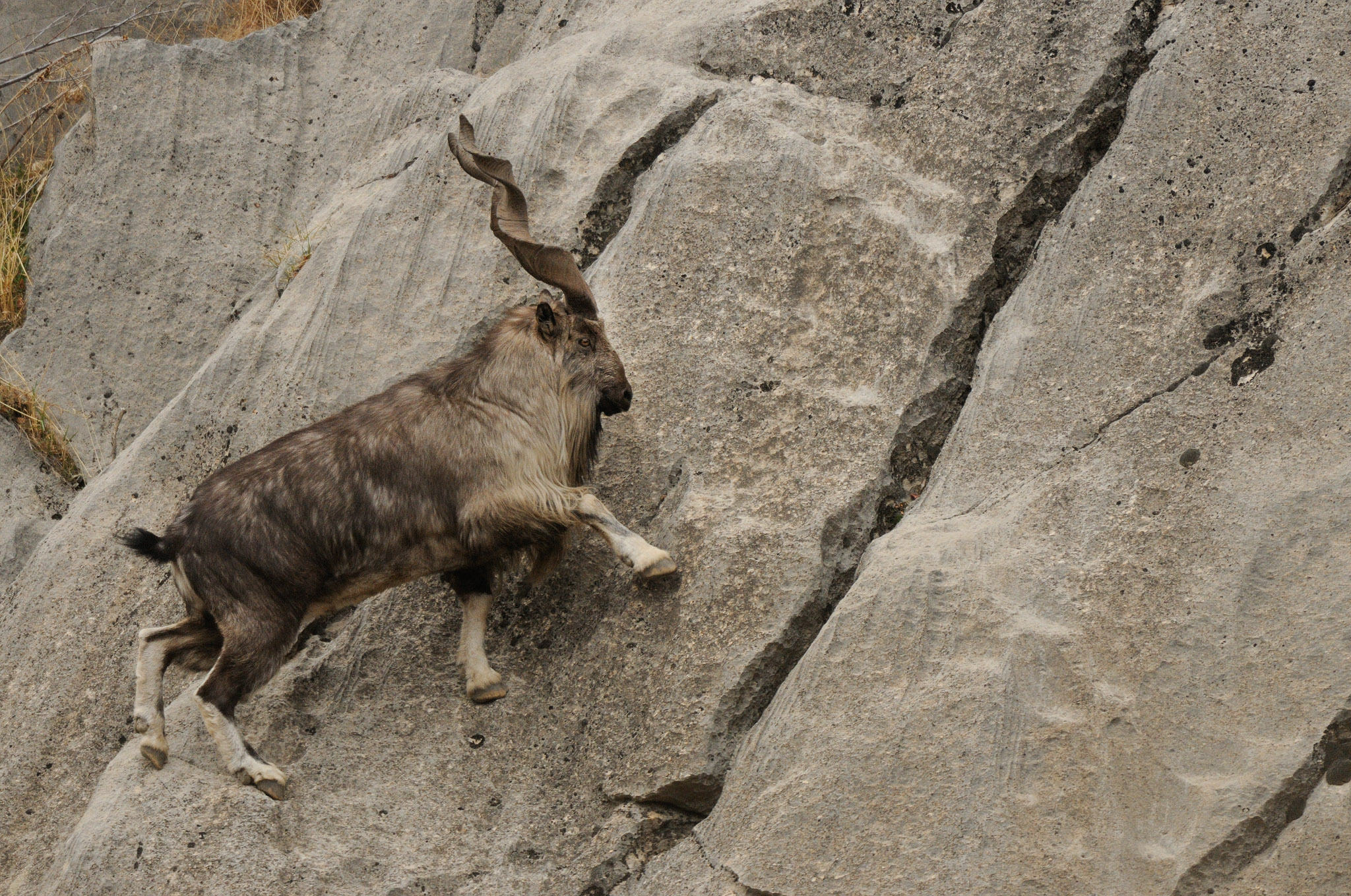 A male markhor (Capra falconeri) traversing a steep cliff, Tajikistan, Central Asia—photograph by Eric Dragesco