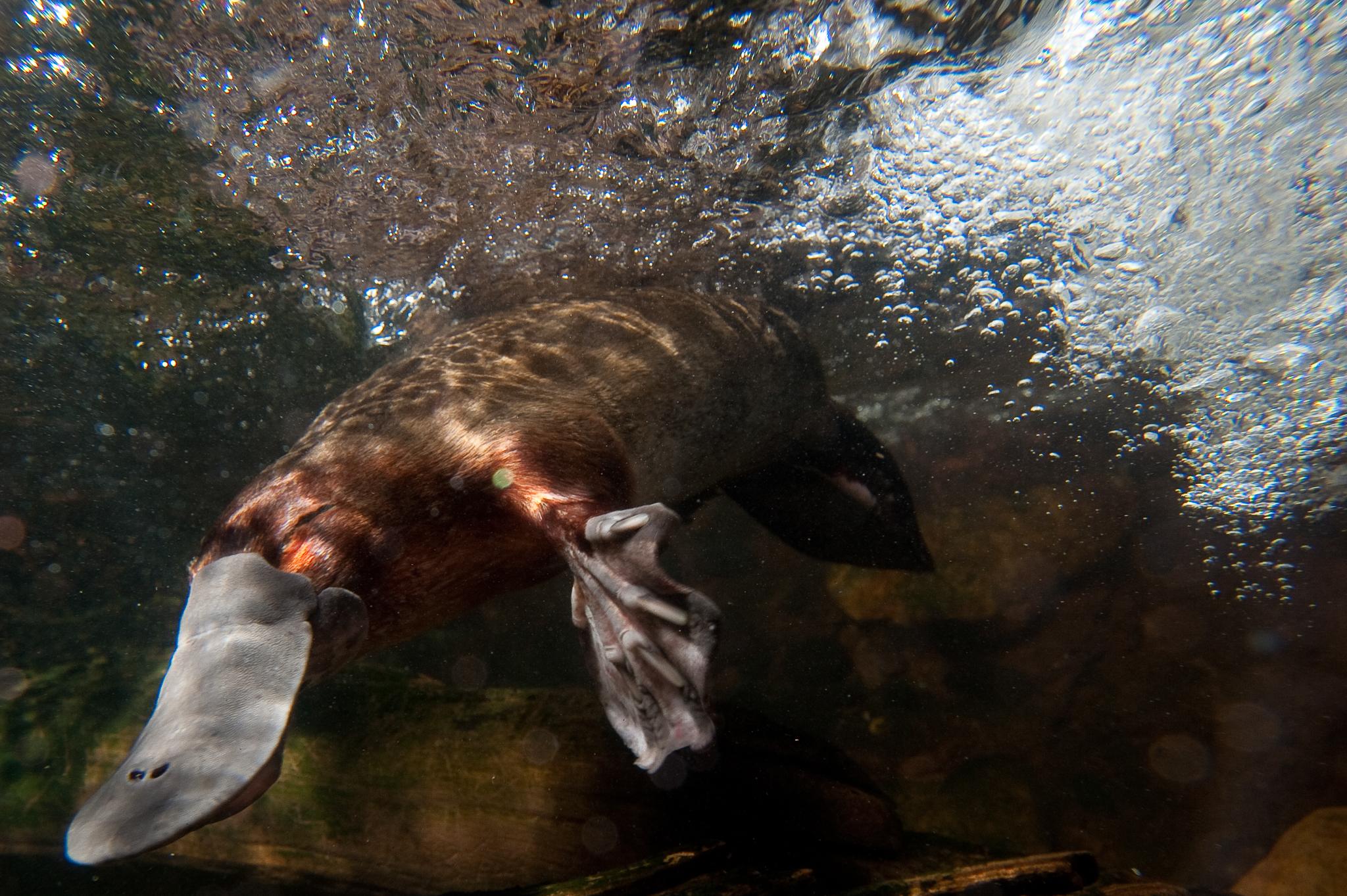 A platypus (<em>Ornithorhynchus anatinus</em>) makes its way underwater. Photo by Roland Seitre