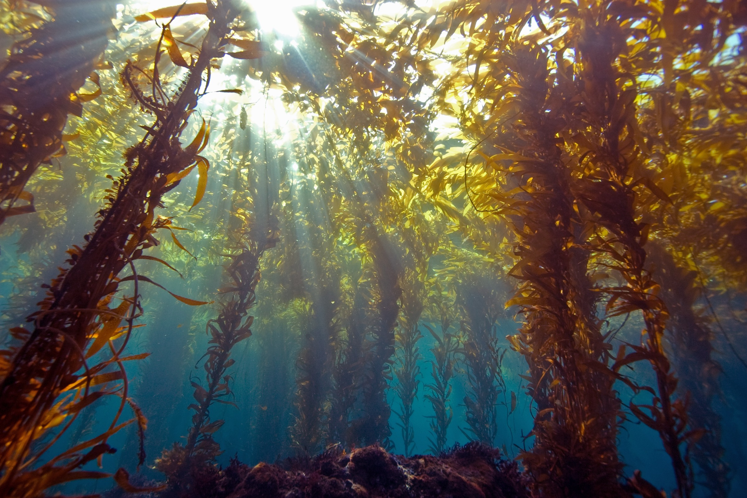 Sunlight streams through a kelp forest near Anacapa Island, off the Southern California coast. Photograph by Douglas Klug/Getty