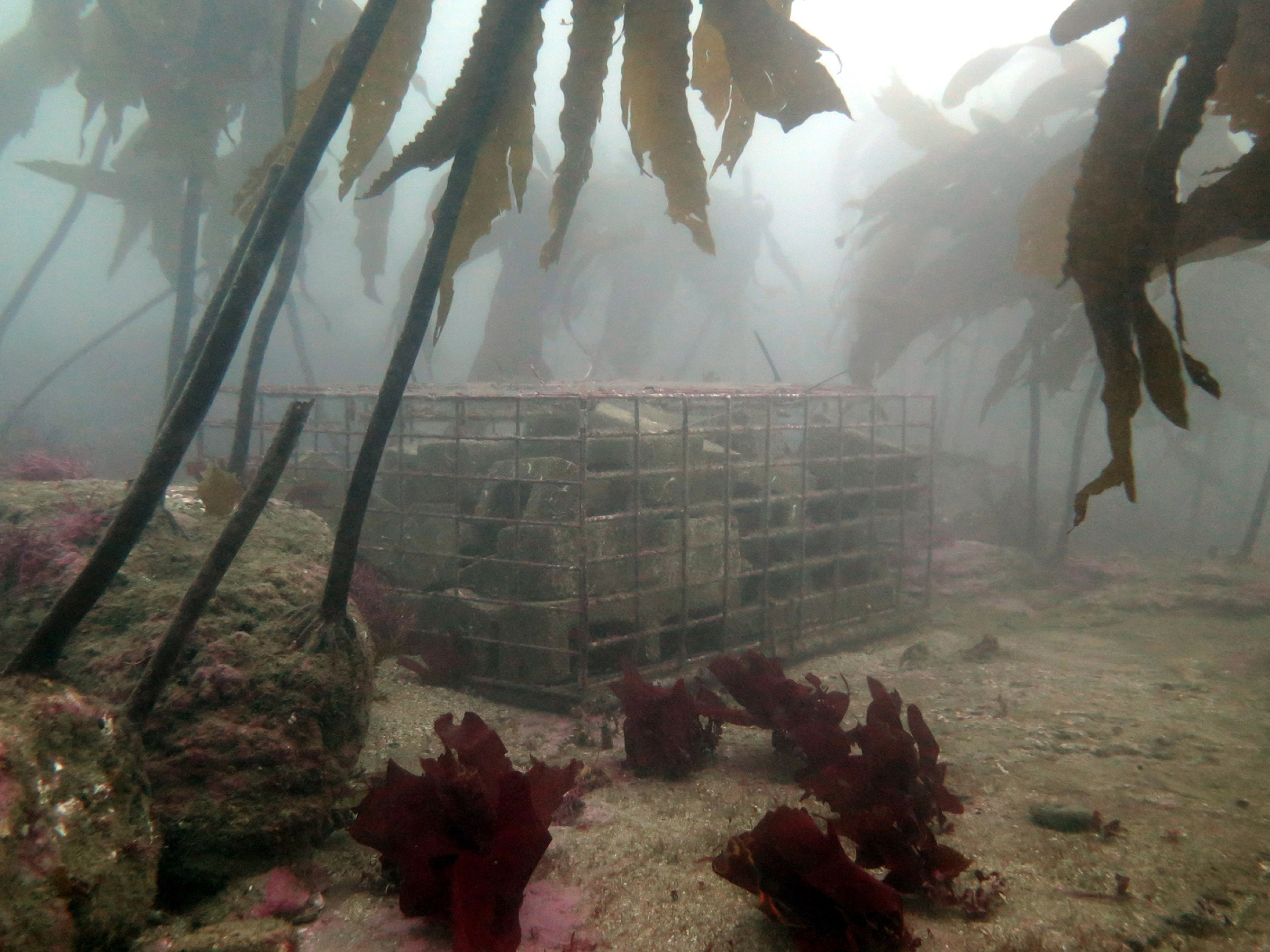 Researchers place baby abalone recruitment traps in Pallos Verdes. Photograph by A. Maguire/CDFW