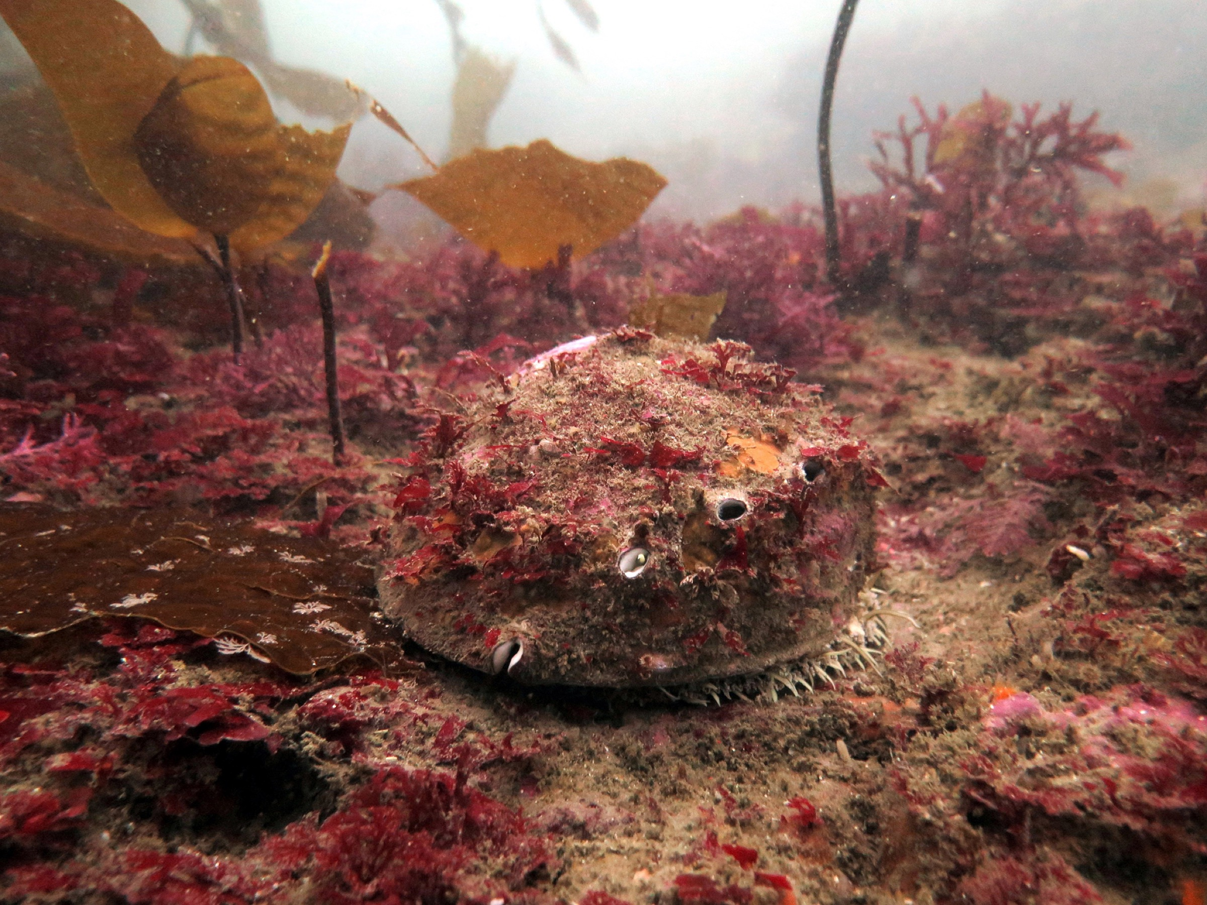 A wild white abalone in its natural habitat is often covered with tuna kits and algae, which help it blend into its surroundings and avoid predation. Photograph by A. Maguire/CDFW