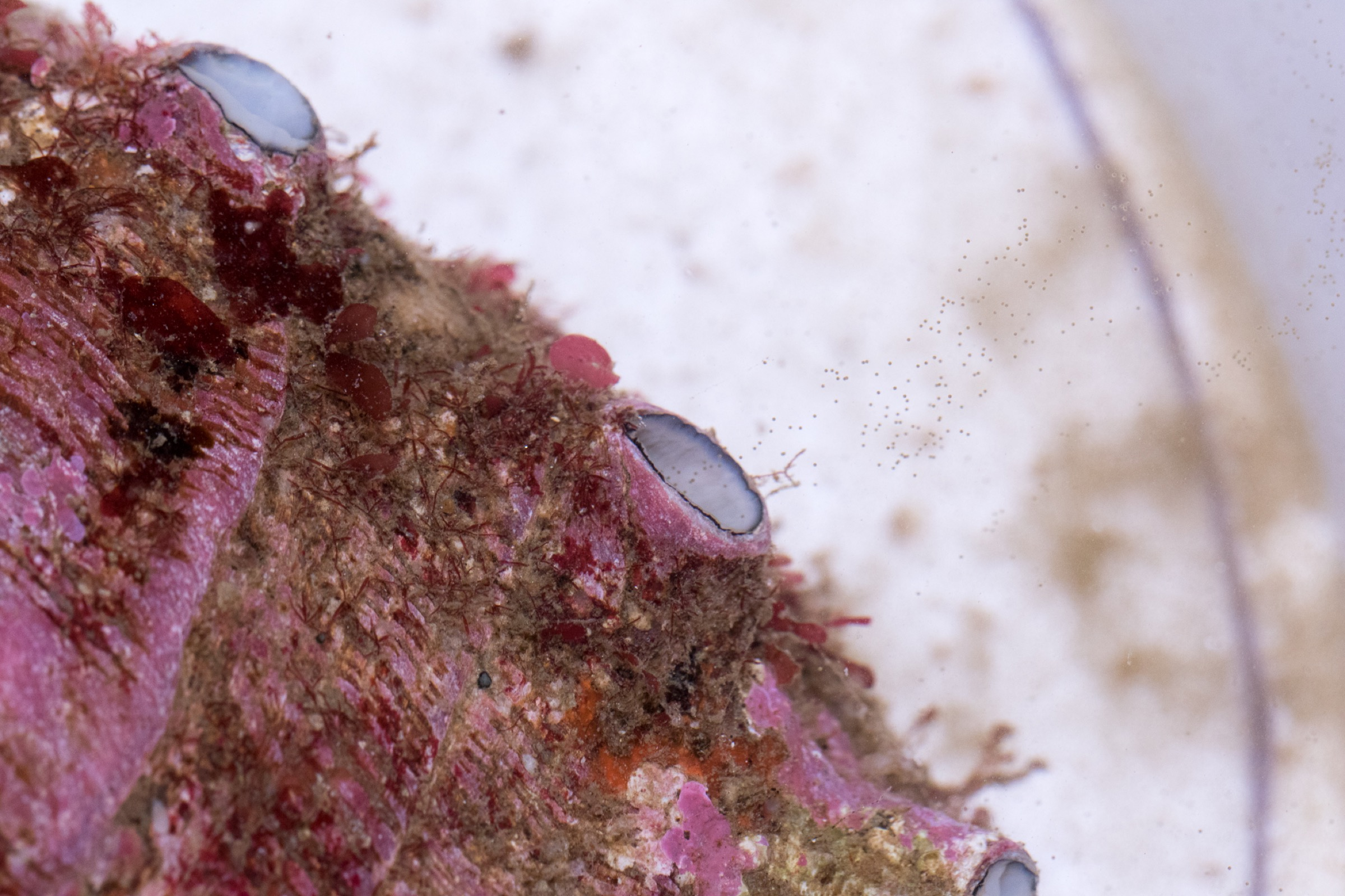 The wild female abalone releases hundreds of thousands of tiny, brown eggs from one of the pores on her shell.