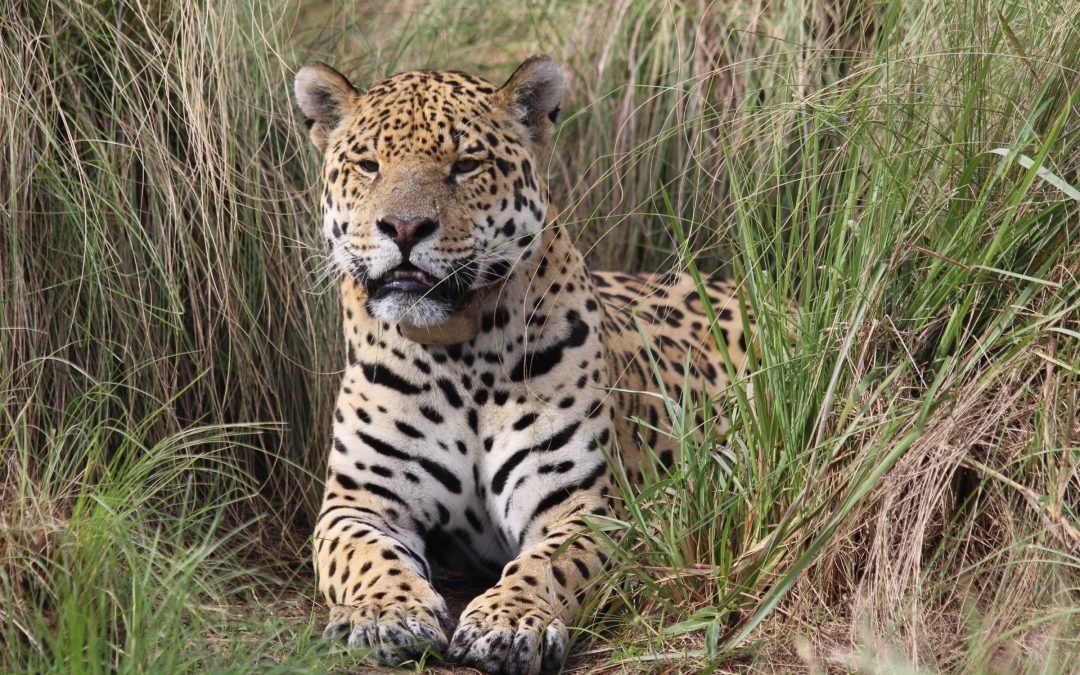 Nahuel, a mature male jaguar, basks in his breeding enclosure.—Photo by Karina Lerdrup Spørring