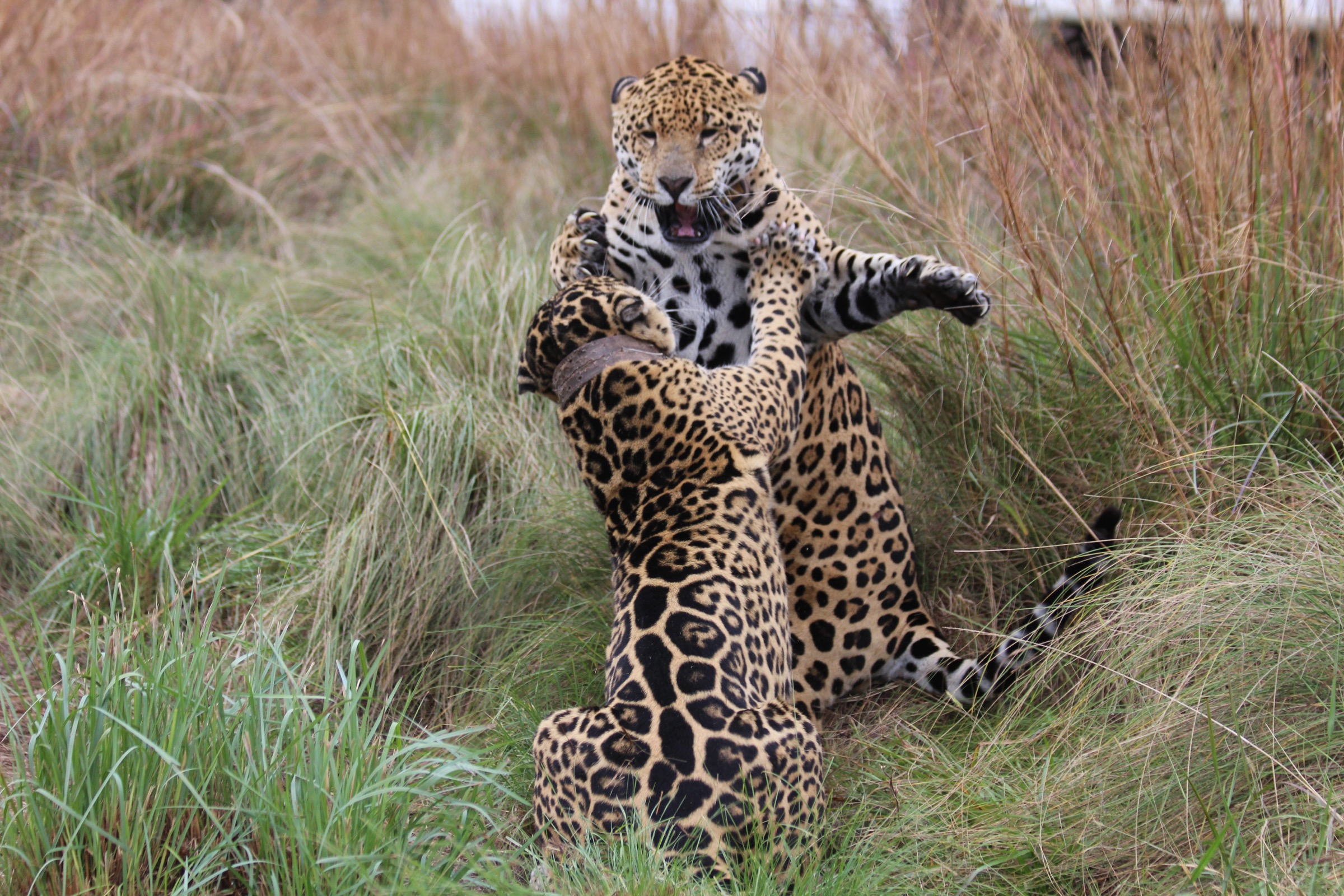 Adult jaguars Nahuel and Tobuna spar inside their breeding inclosure. It is hoped that the pair will produce the first cubs to be reintroduced to the wild in Iberá.—Photo by Karina Lerdrup Spørring
